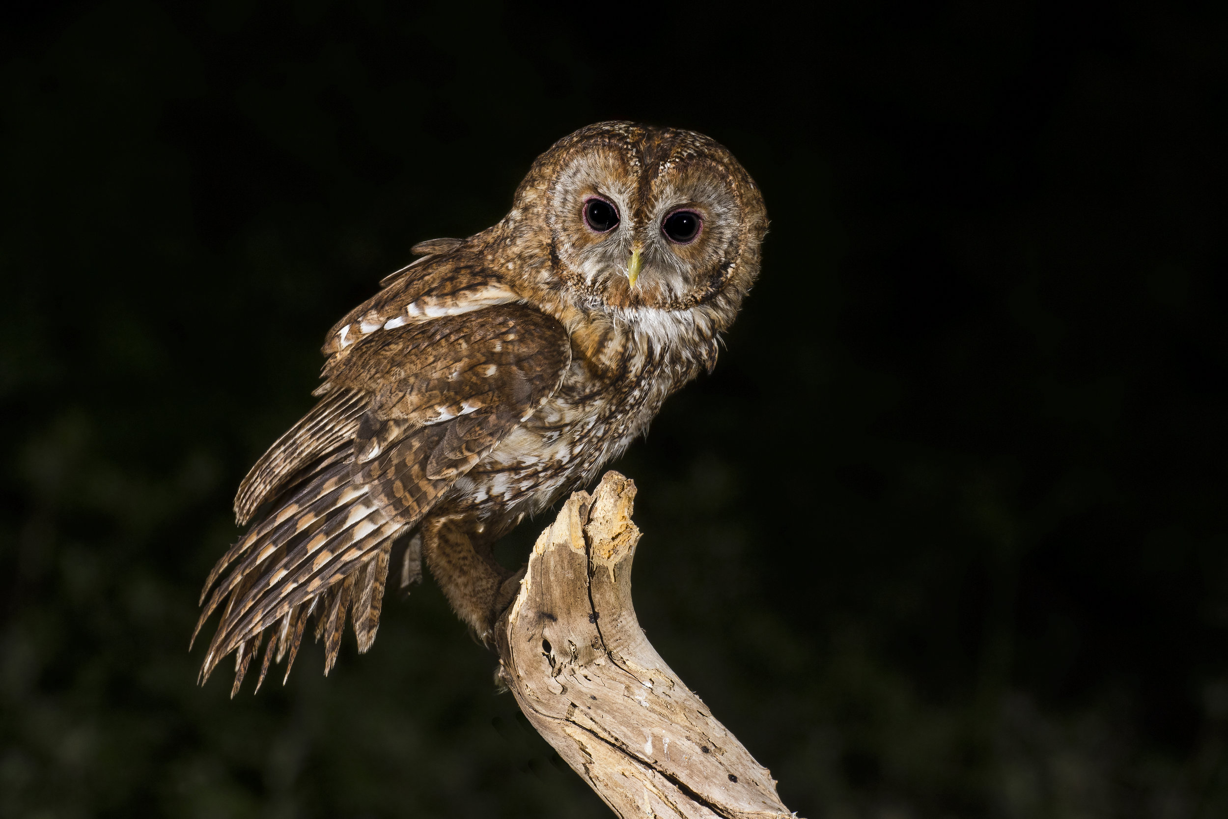 Tawny Owl 26th May.jpg