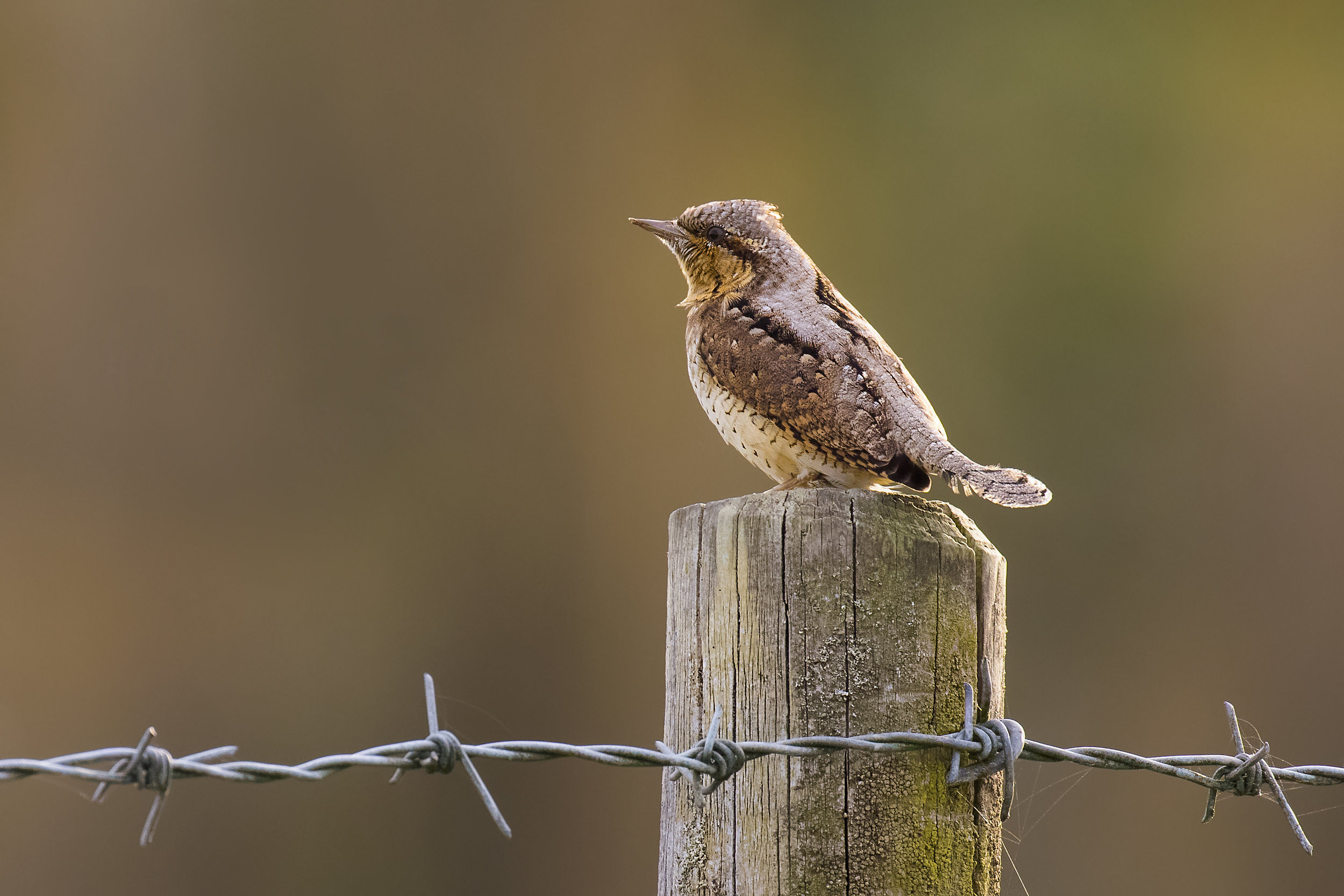 Wryneck Cropped 23rd September.jpg