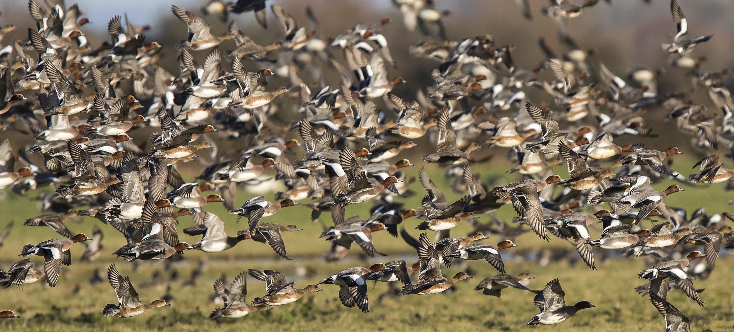 Wigeon Tight Flock 7th January.jpg