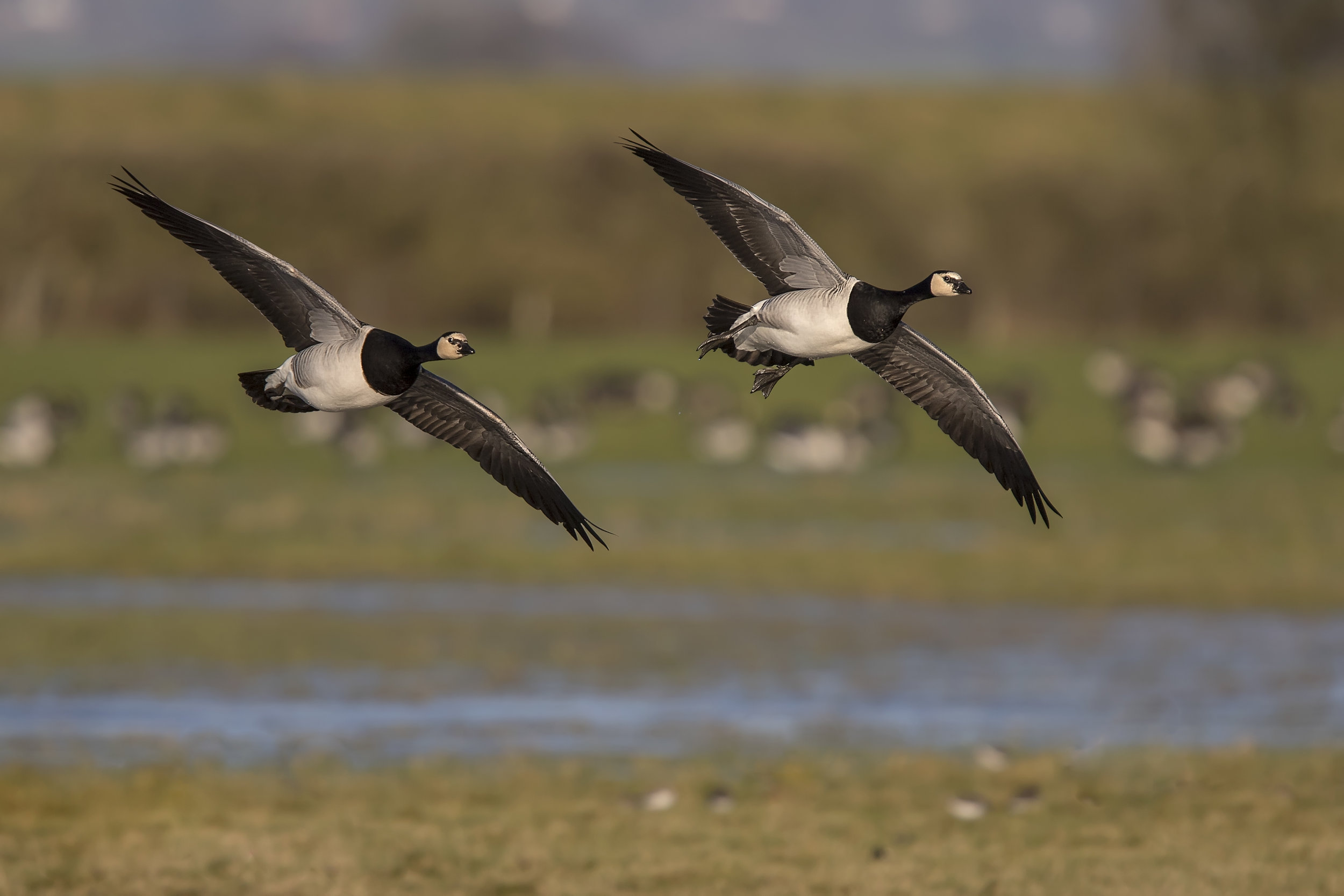 Barnical Geese Flight 7th January.jpg