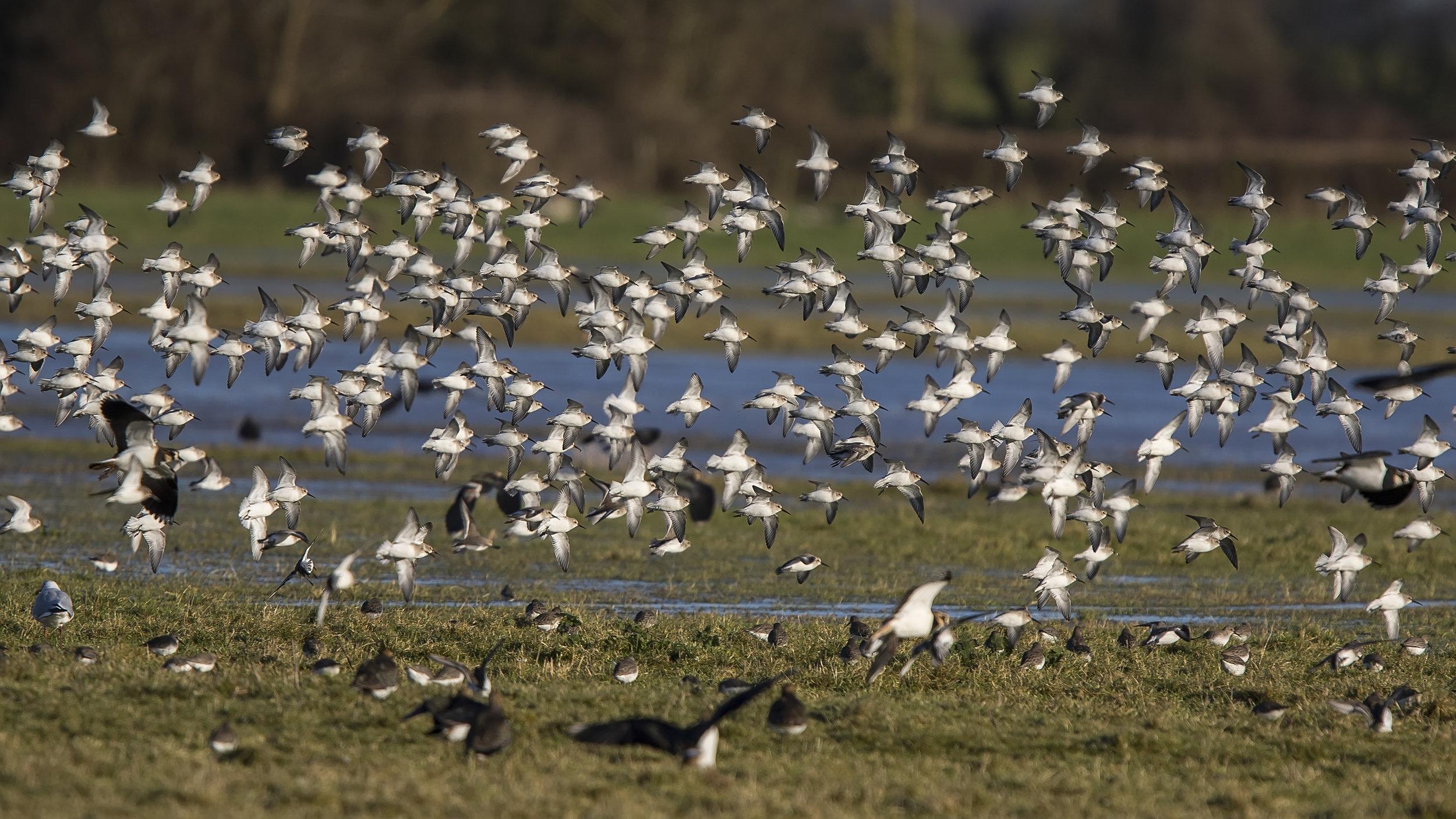 Dunlin Flock 7th January.jpg