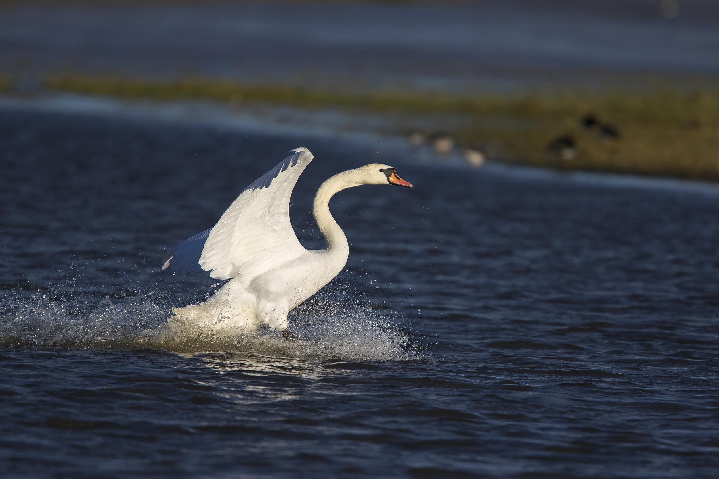 Mute Swan Splash Down 7th January.jpg