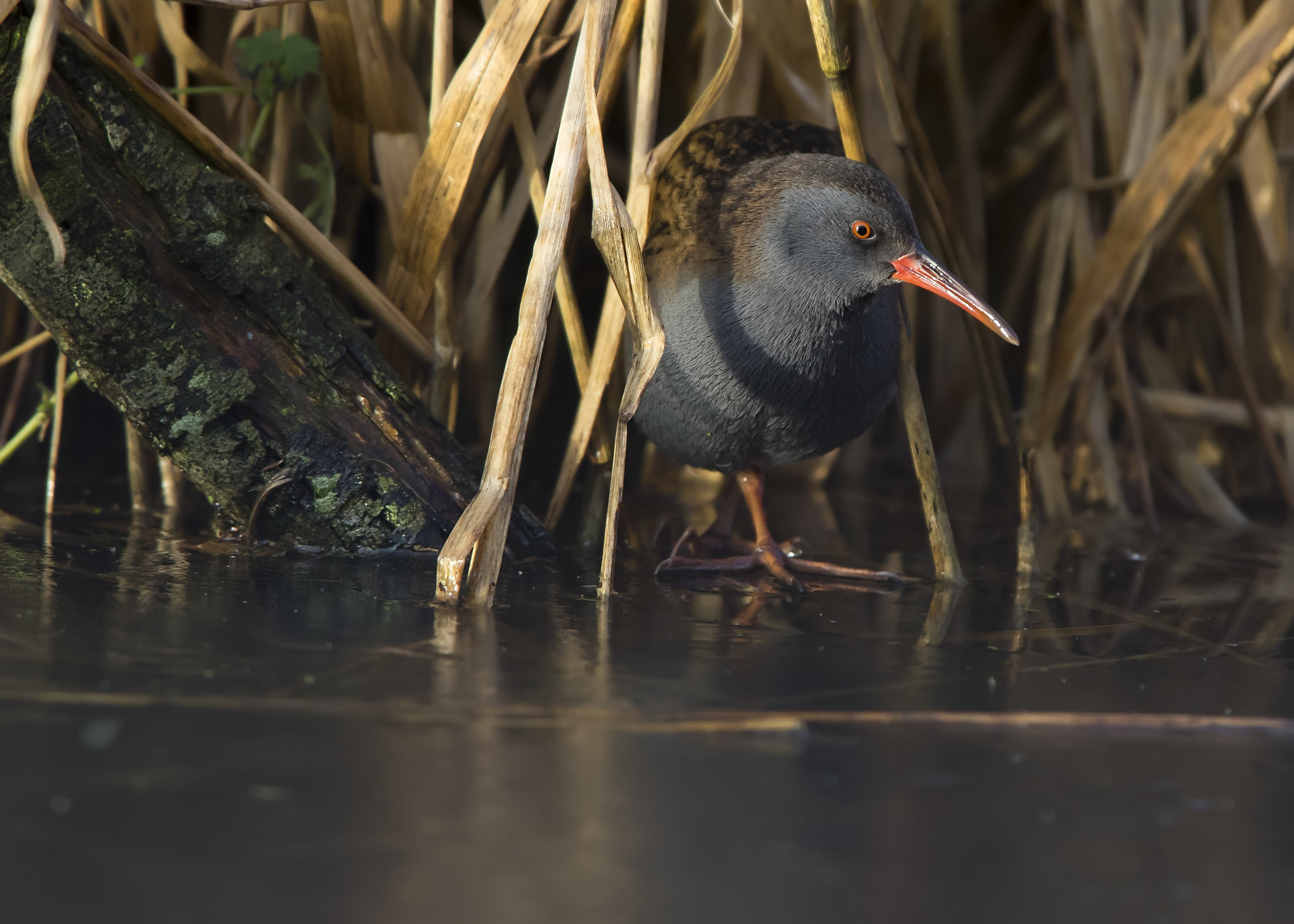 Water Rail Emerging onto the Ice 7th January.jpg