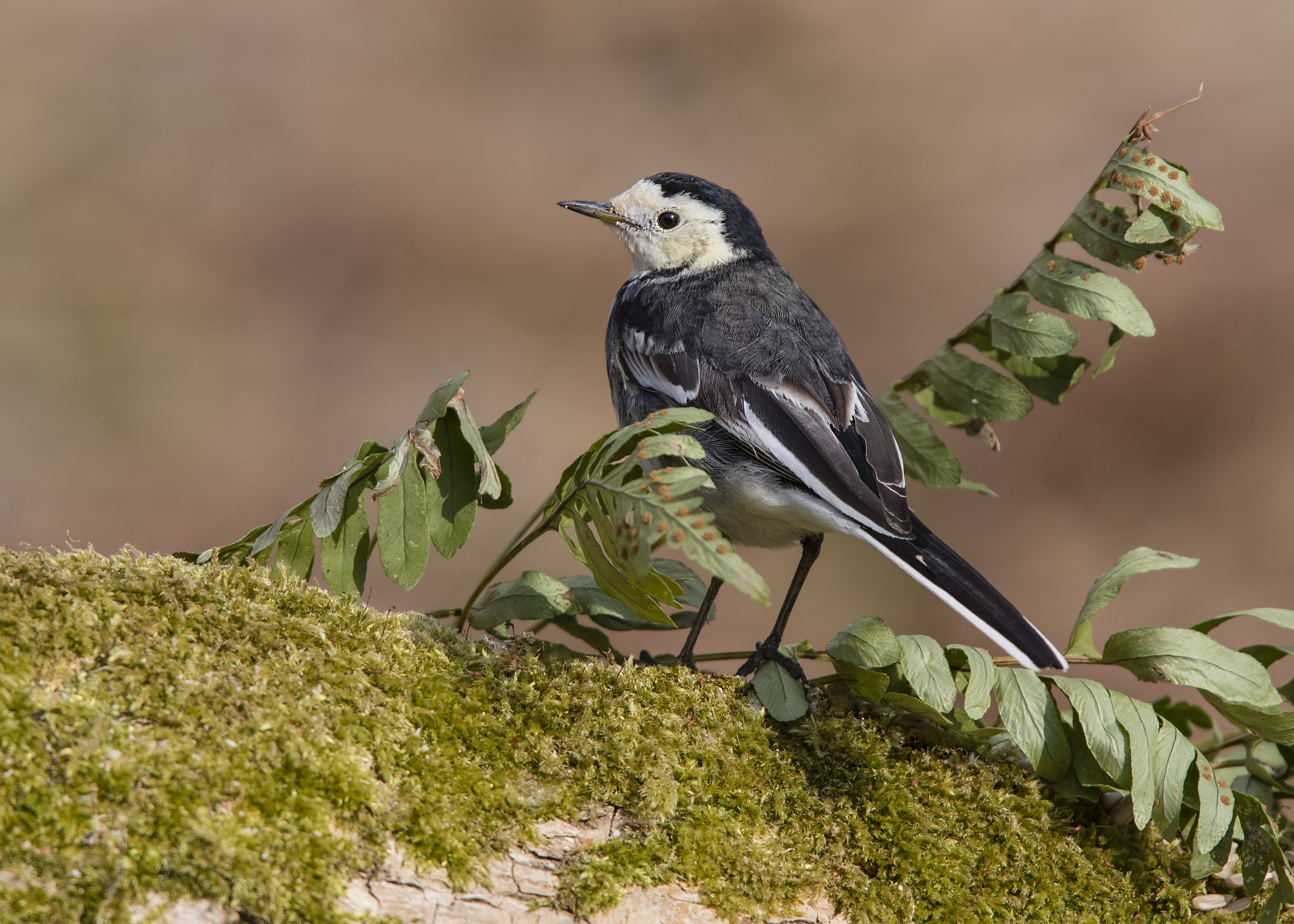 Pied Wagtail 28th February.jpg