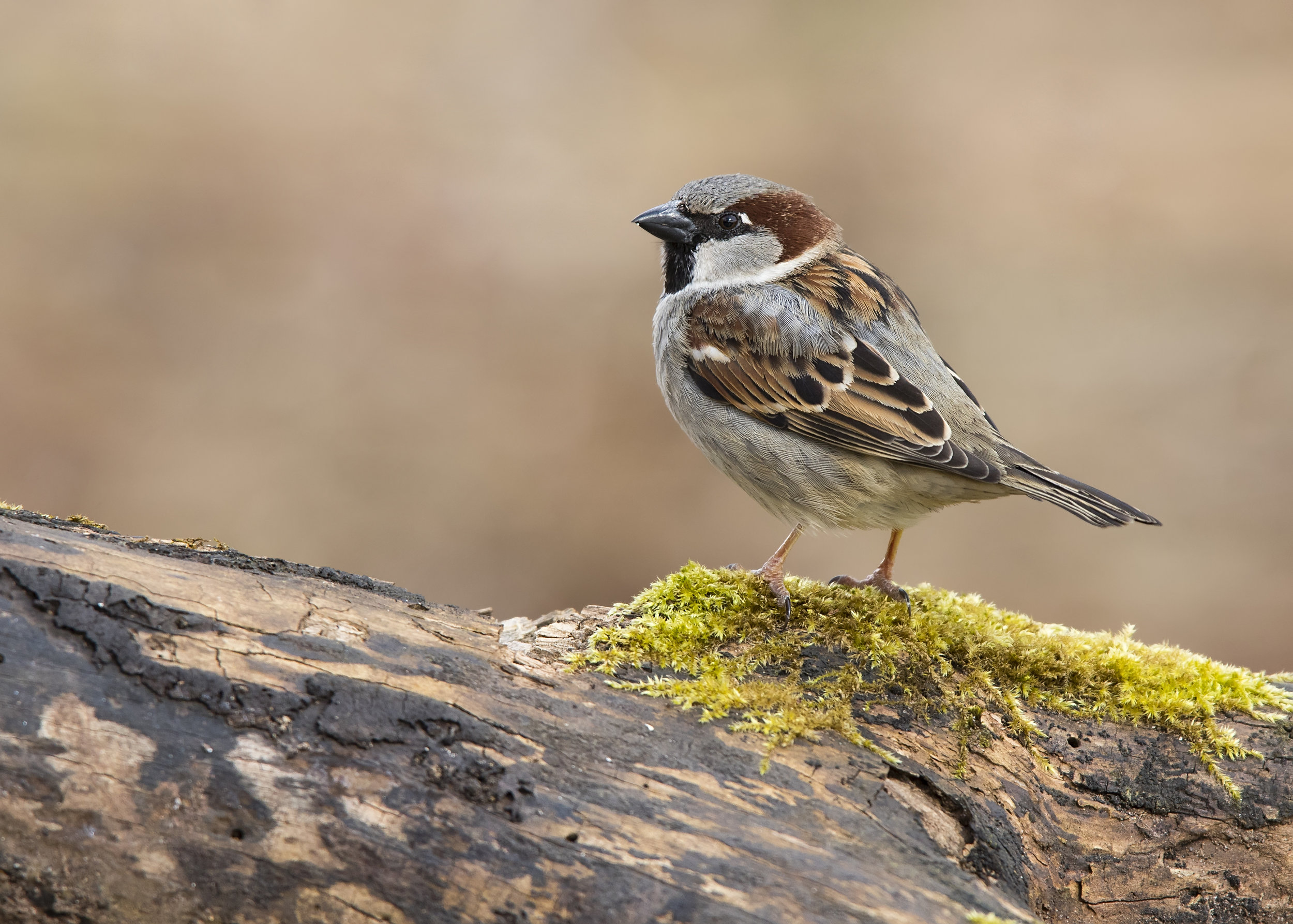 House Sparrow M 28th February.jpg
