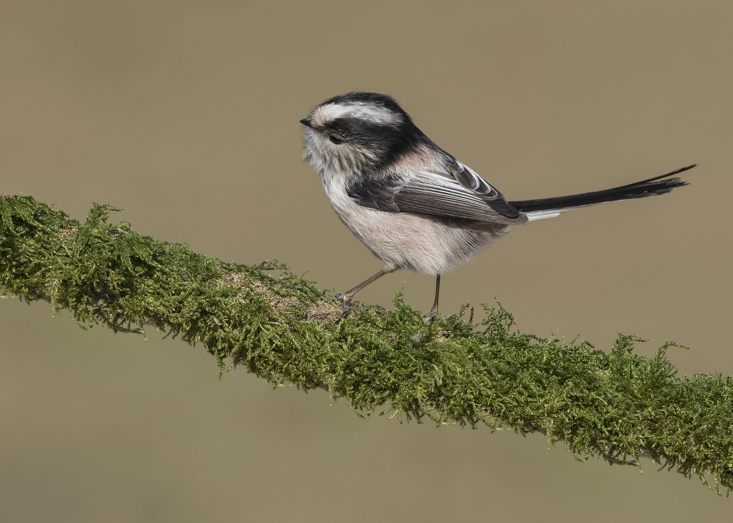 Long-tailed Tit Moss Branch 24th February.jpg