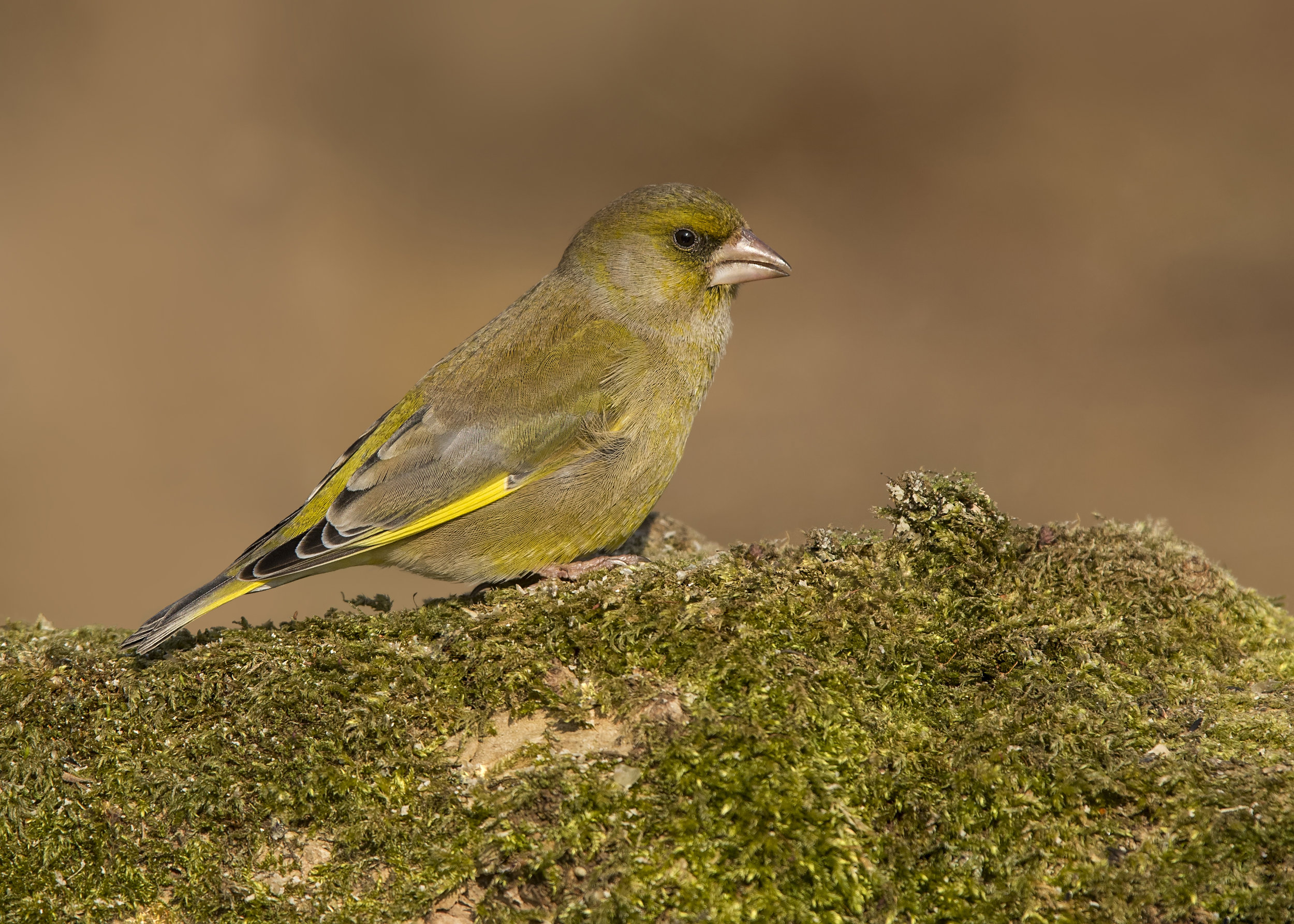 Greenfinch 24th February.jpg