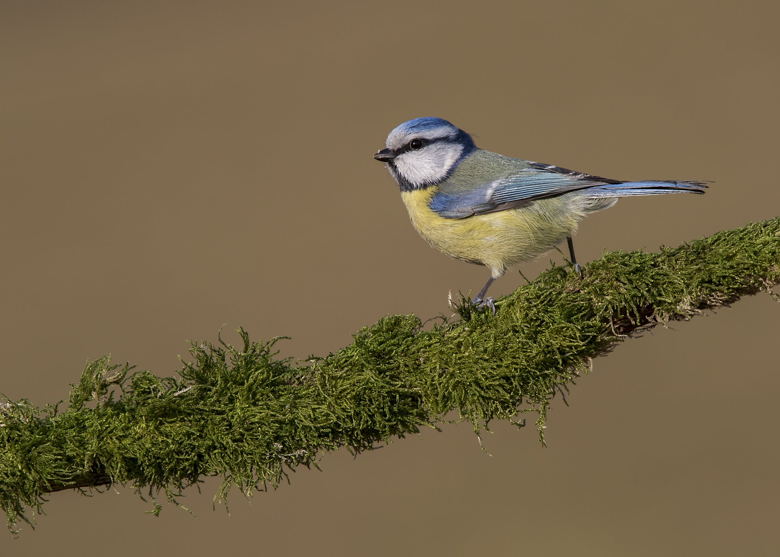 Bluetit Moss 24th February.jpg