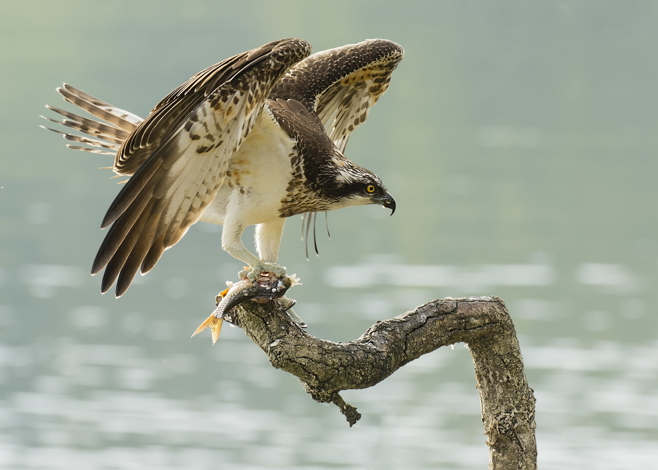 Osprey with Fish Flap 17th September 17.jpg