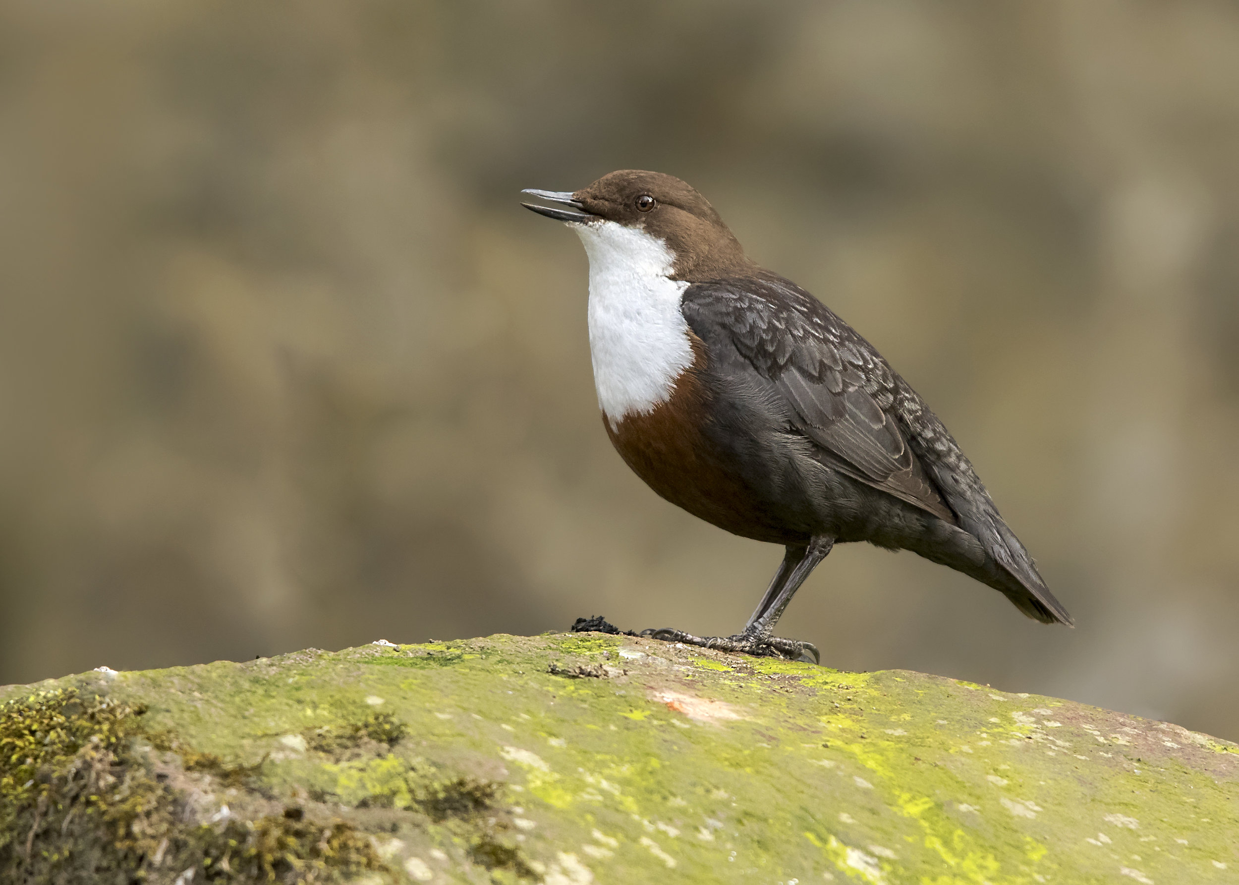 Dipper Singing 21st March copy.jpg