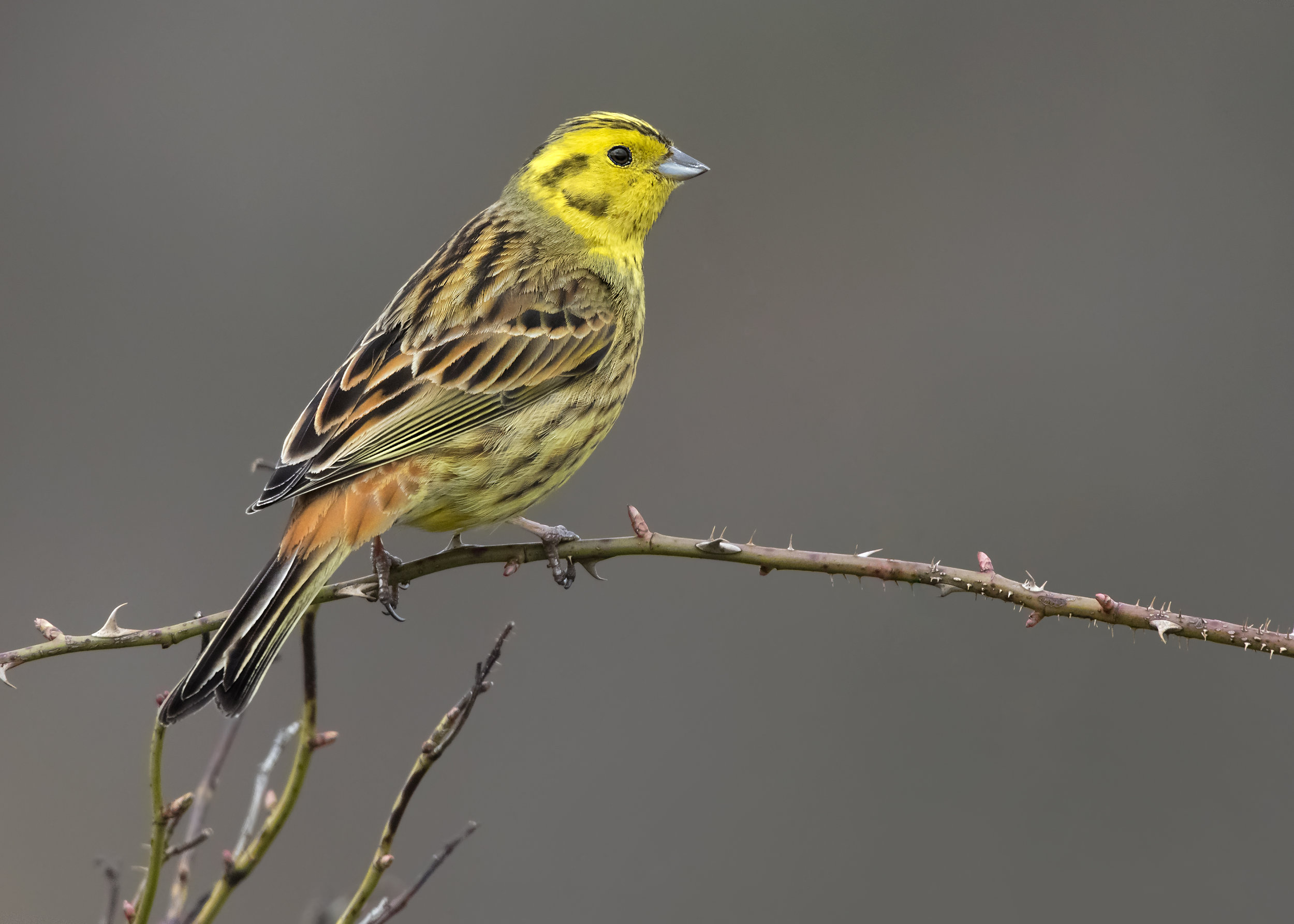 Yellowhammer Perched 2nd April.jpg