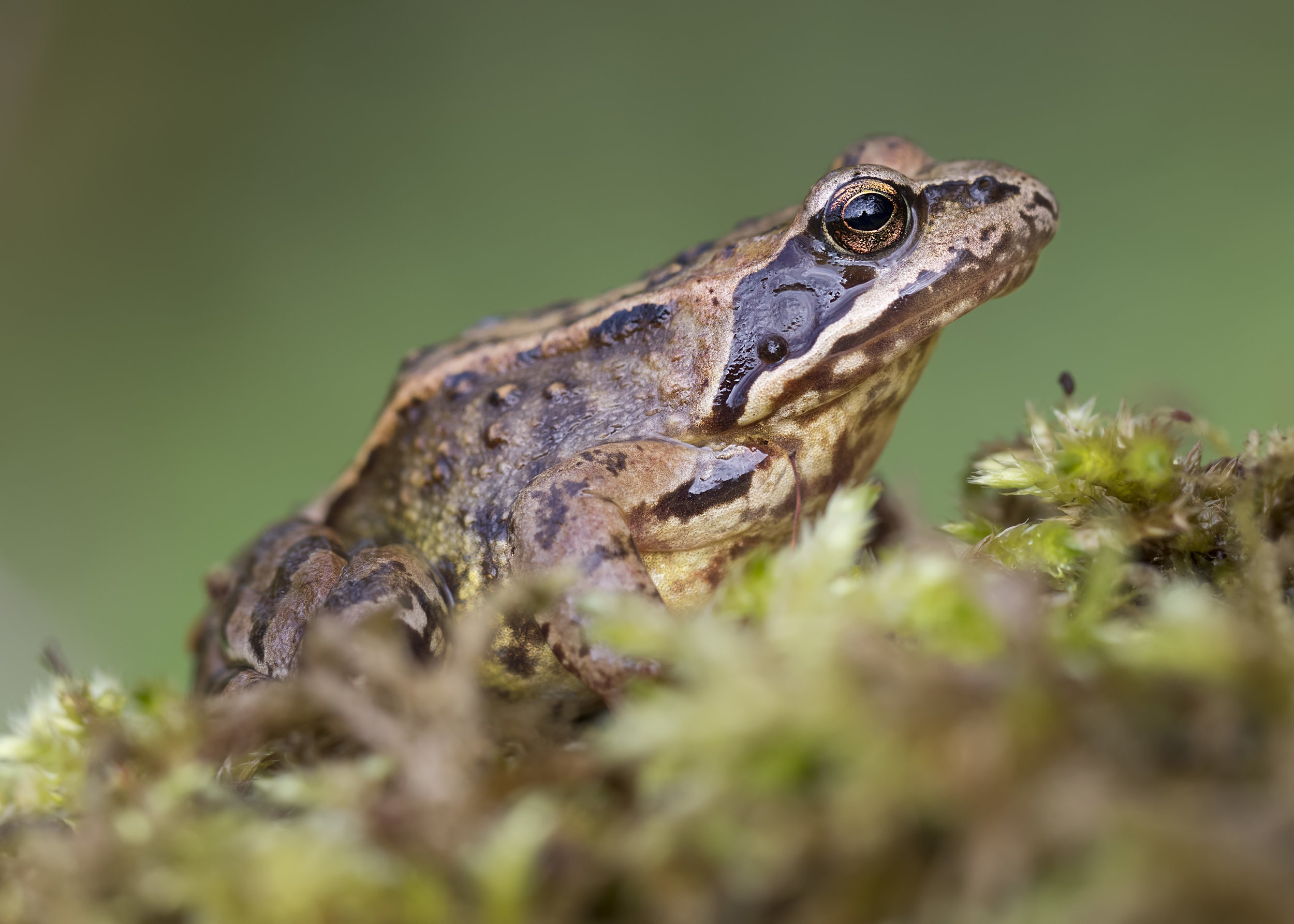 Common Frog 28th April.jpg