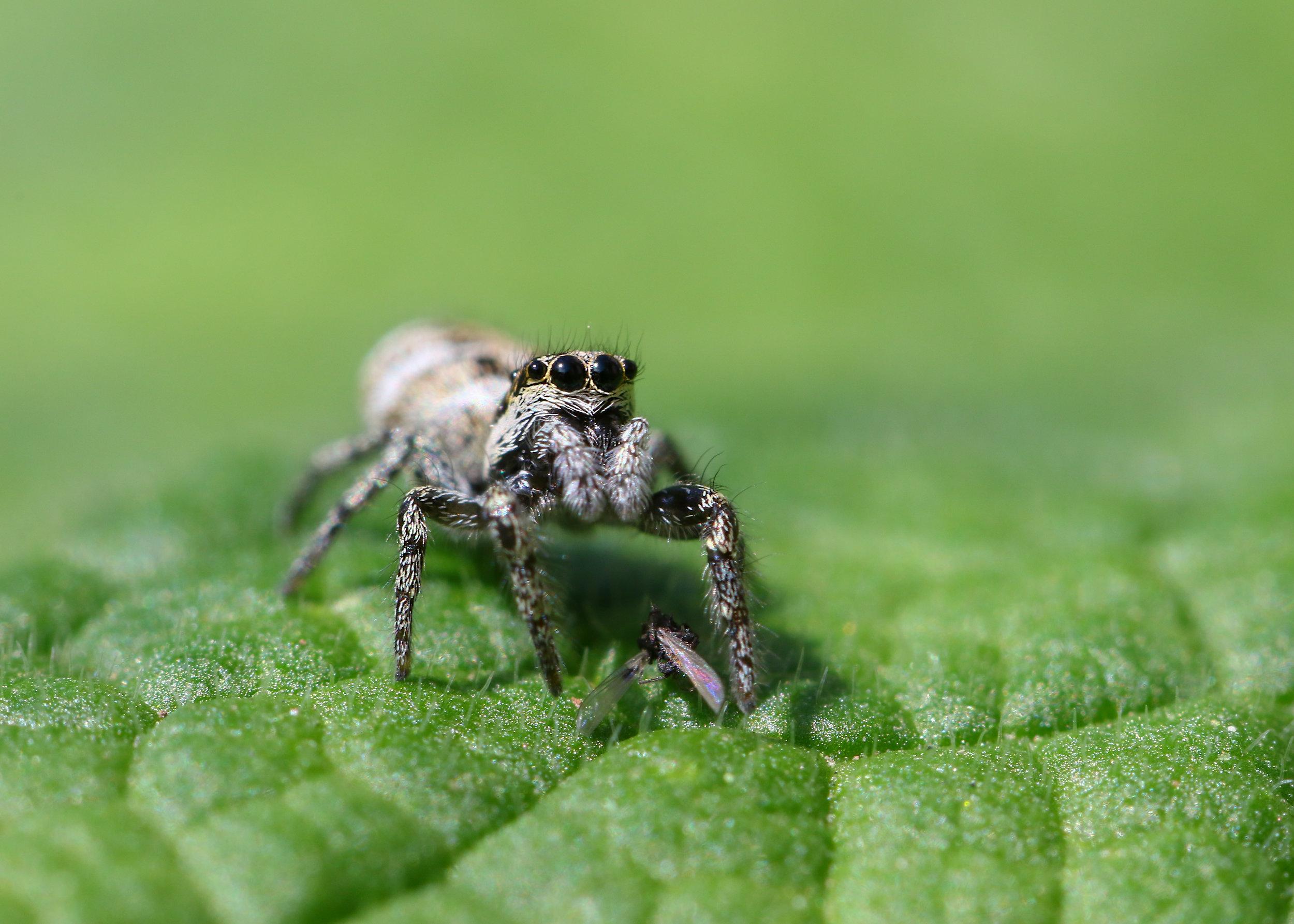 Jumping Spider 24th April.jpg