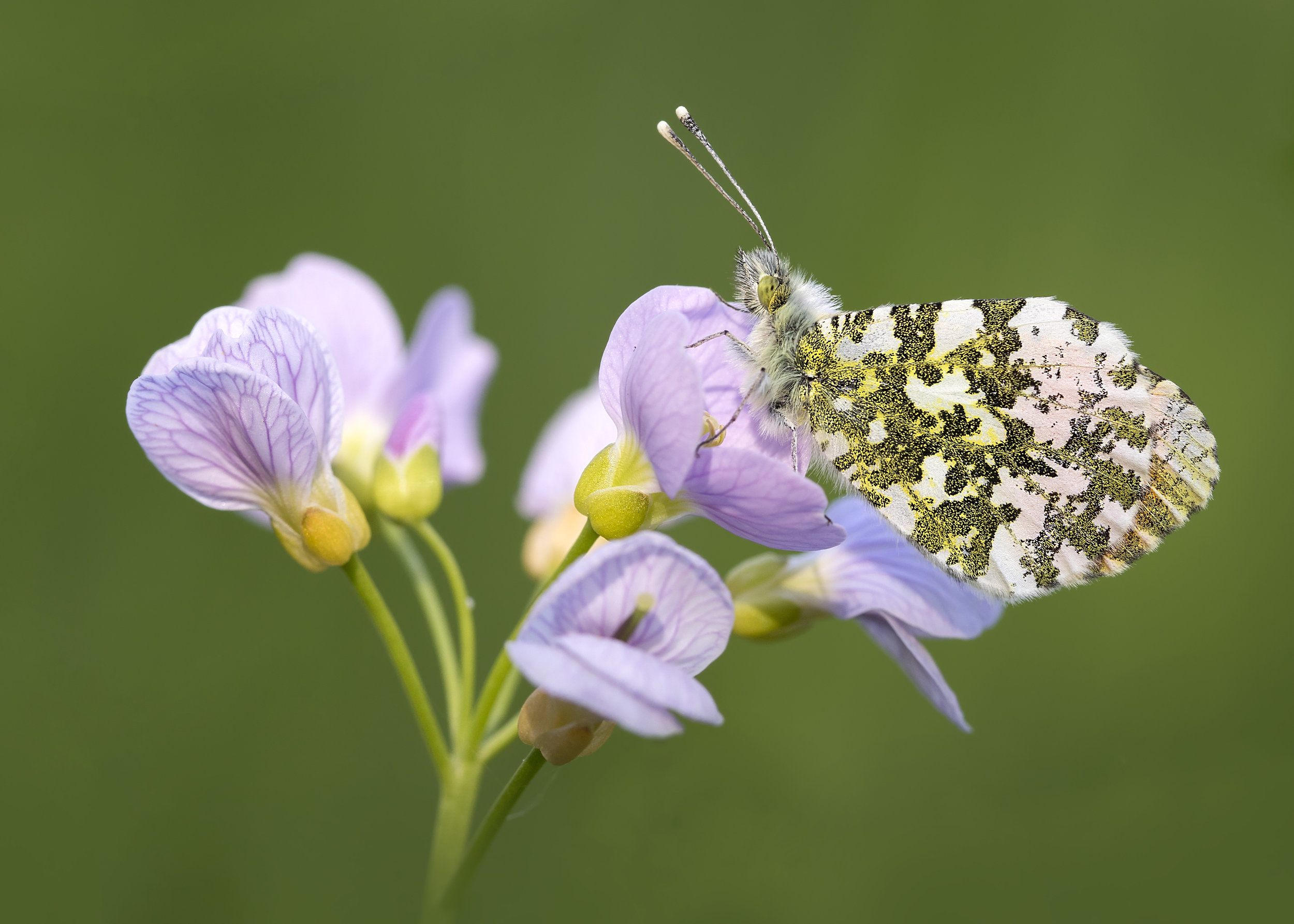Orange-tip Butterfly on Cuckoo Flower 8th May.jpg