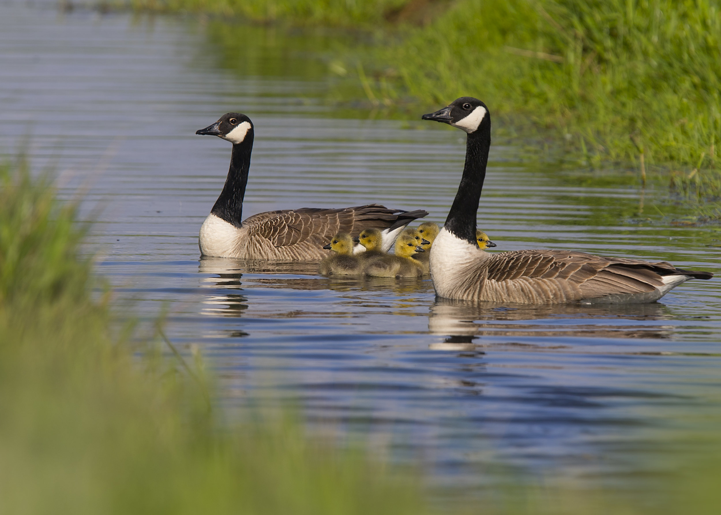 Canada Goose Family 8th May.jpg
