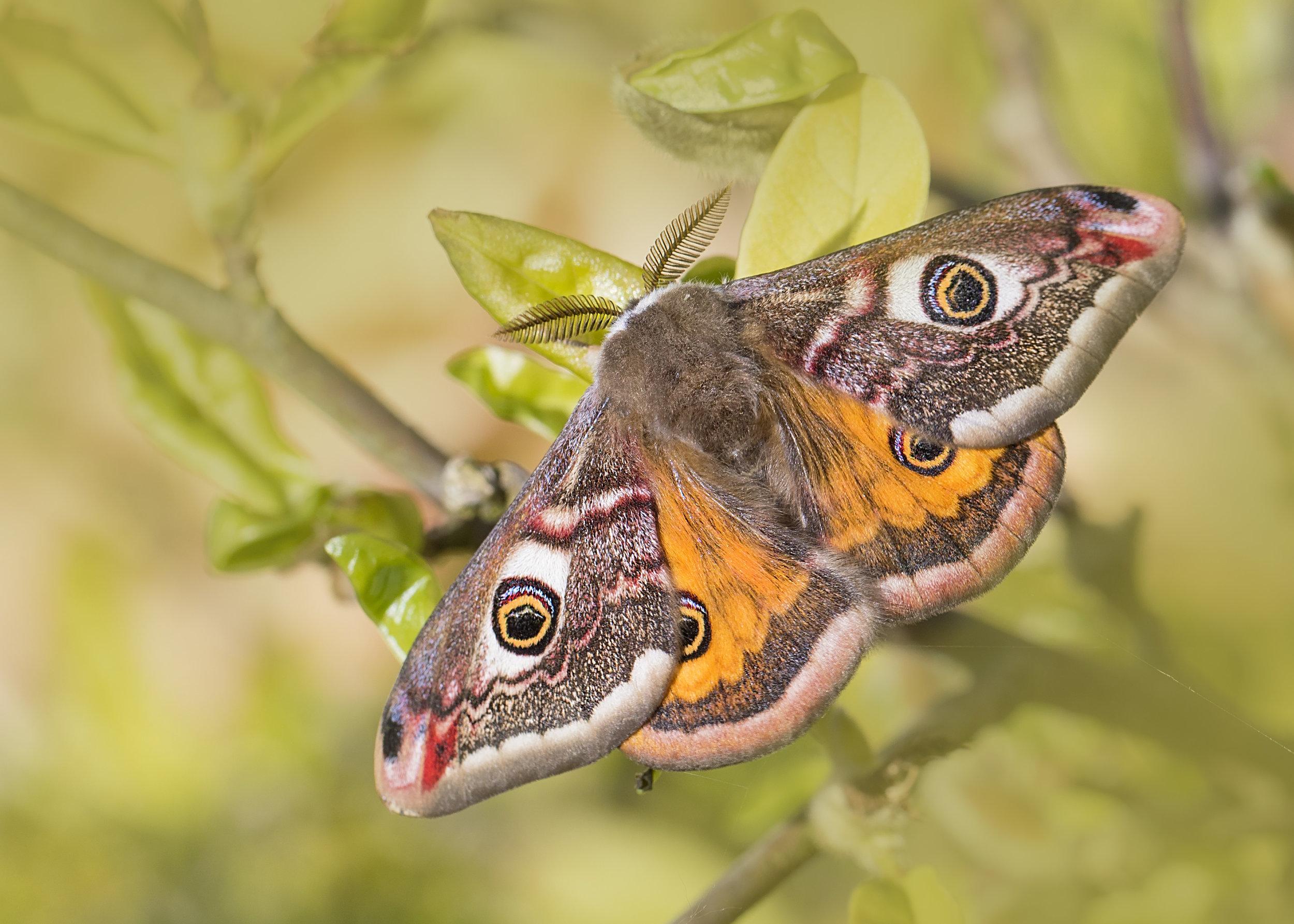 Emperor Moth 5th May.jpg