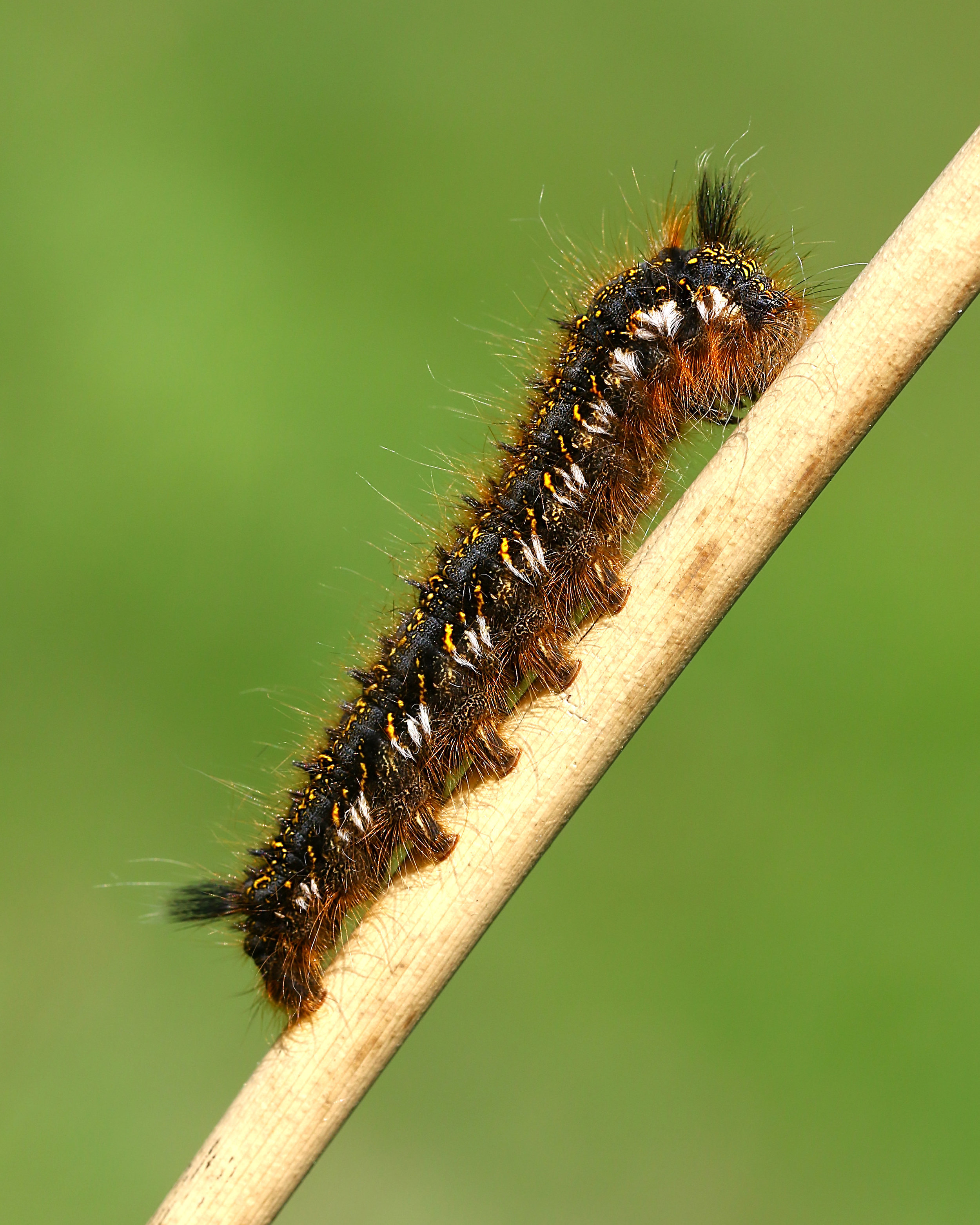 Drinker Moth Caterpillar 2 19th May.jpg
