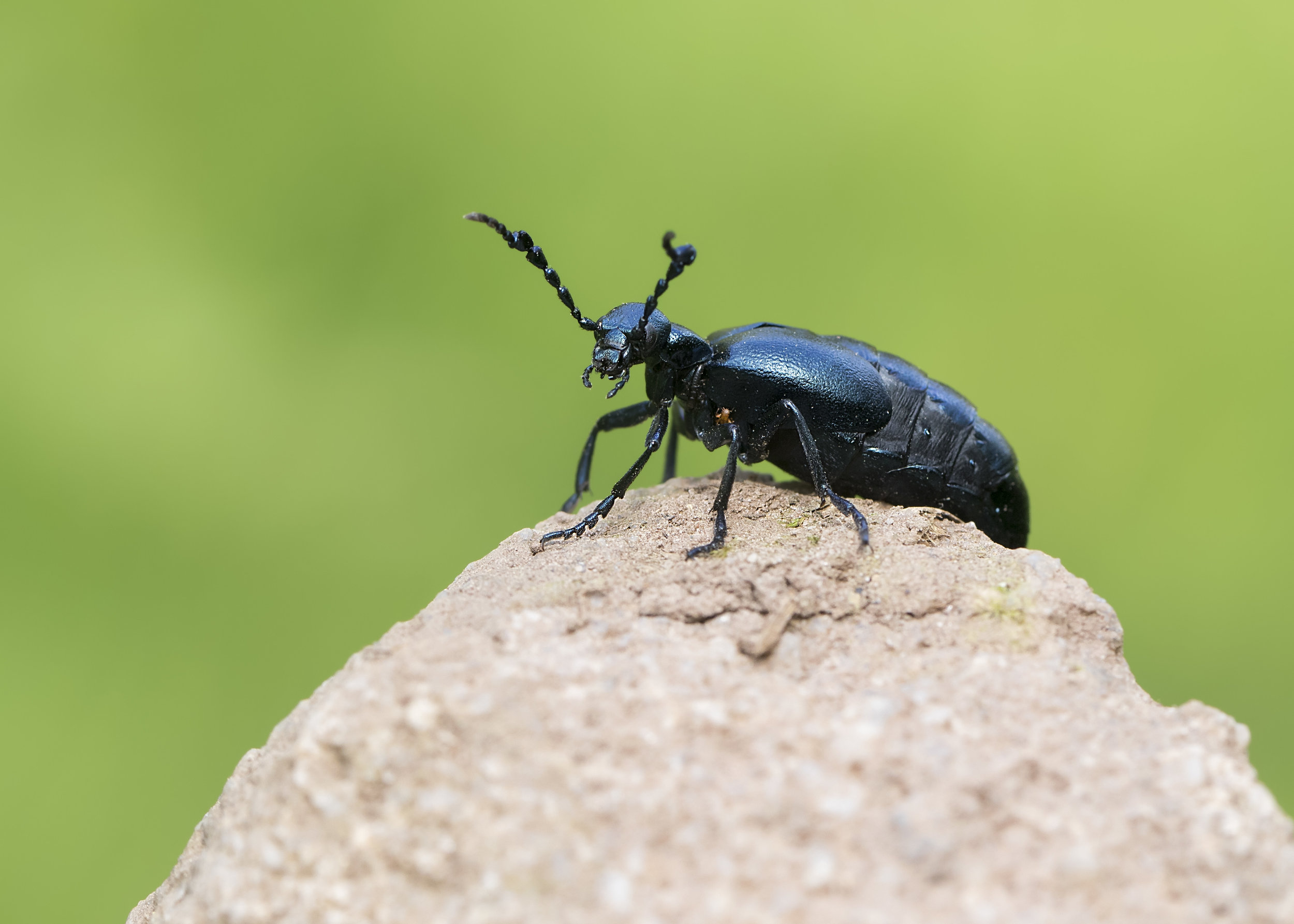 Voilet Oil Beetle with Young attached 10th April.jpg