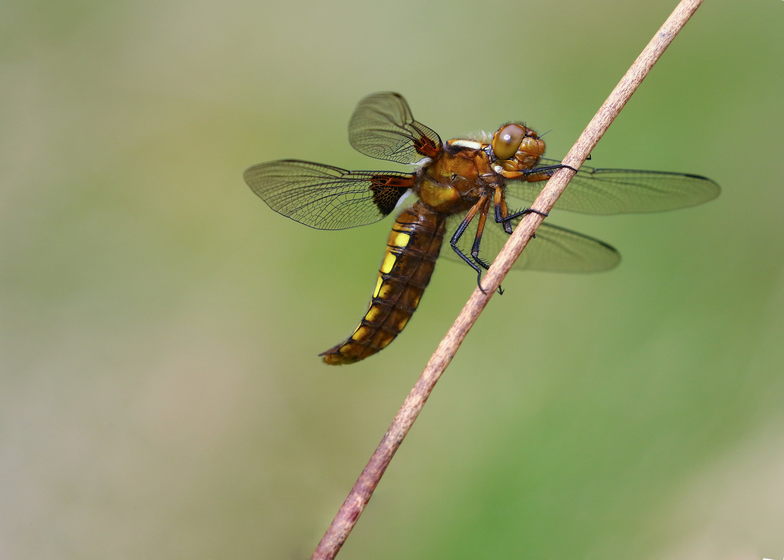 Broad-bodied Chaser 15th May US.jpg