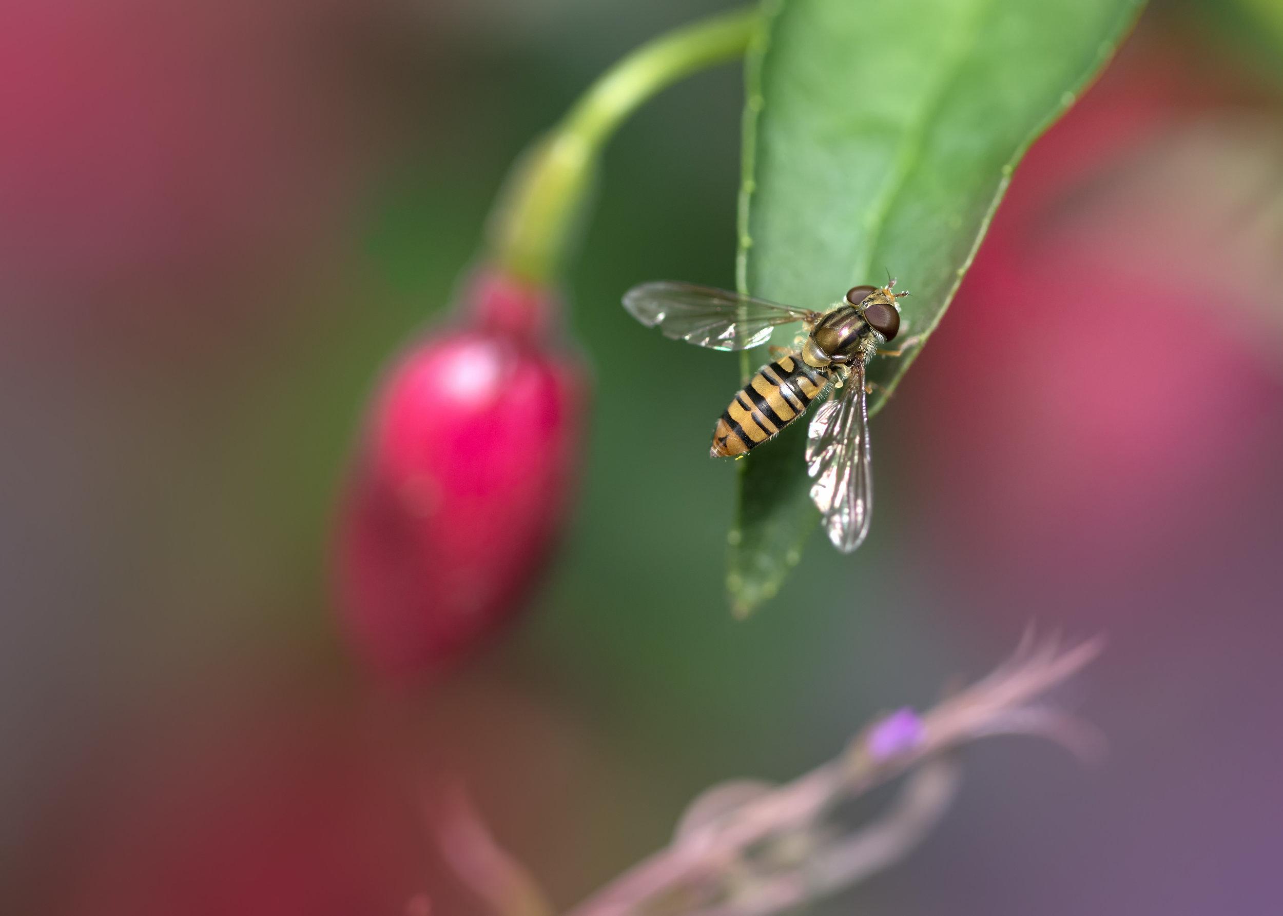 Marmalade Hoverfly C 21st July .jpg