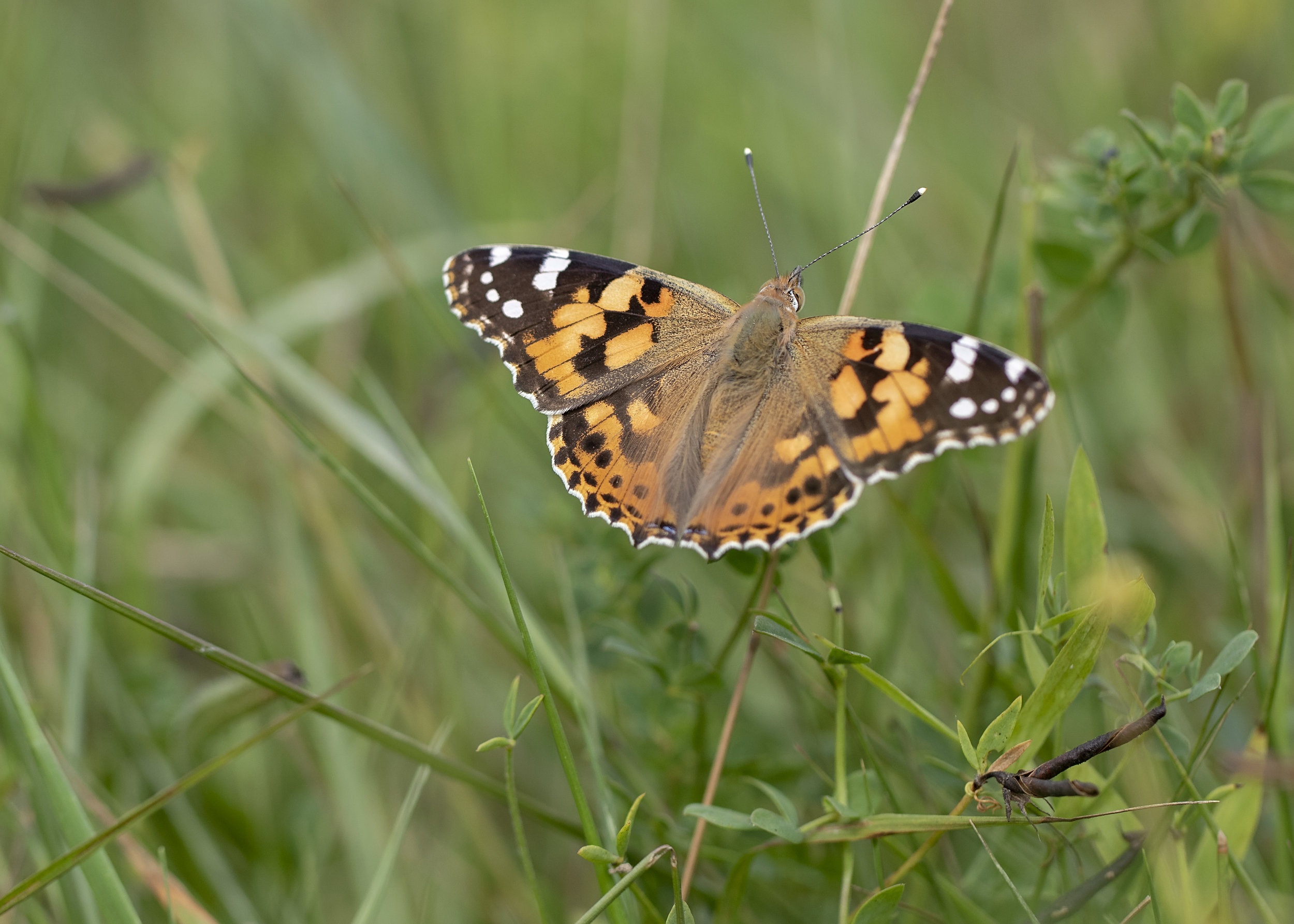 Painted Lady Butterfly 6th August.jpg