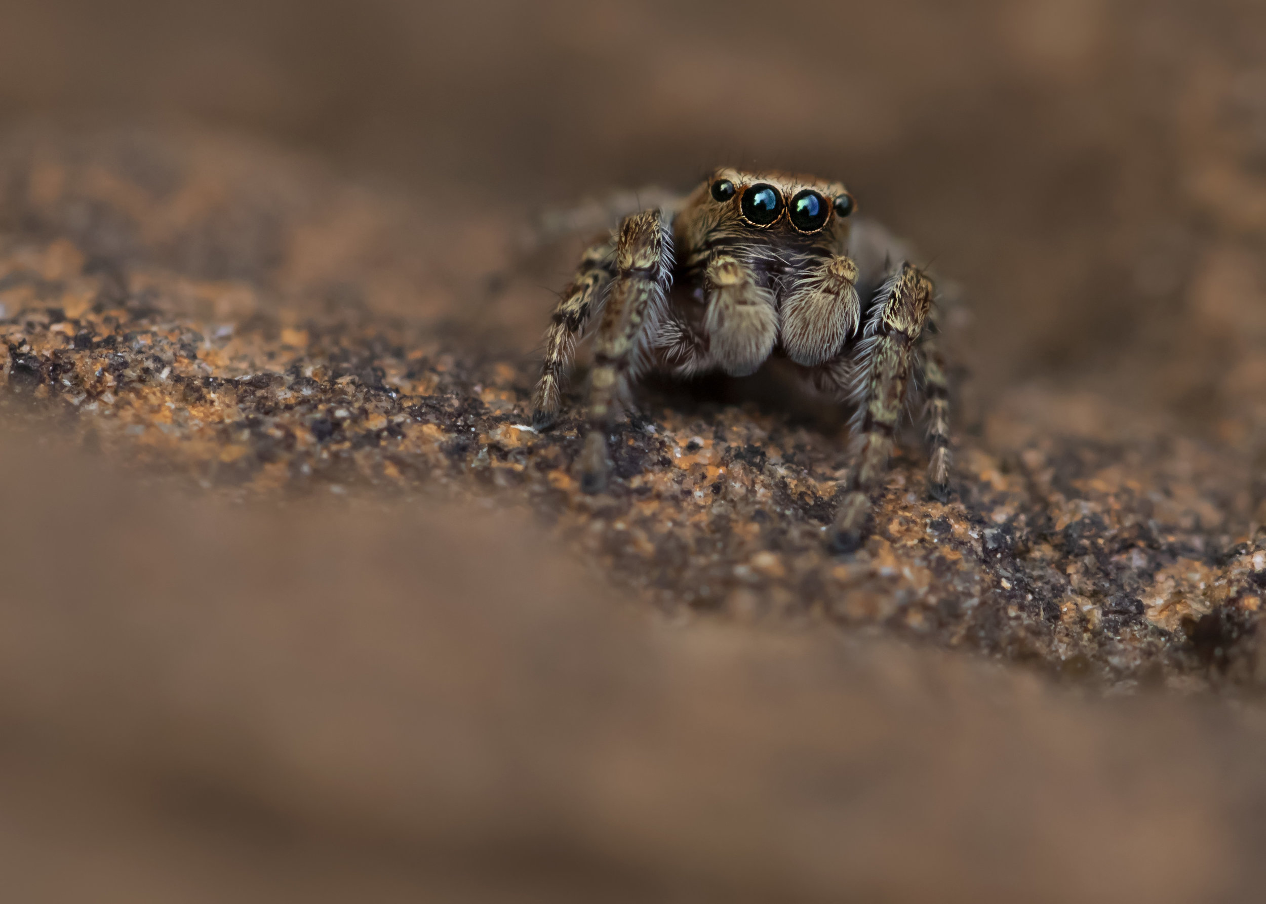 Evarcha falcata Jumping Spider 7th August.jpg