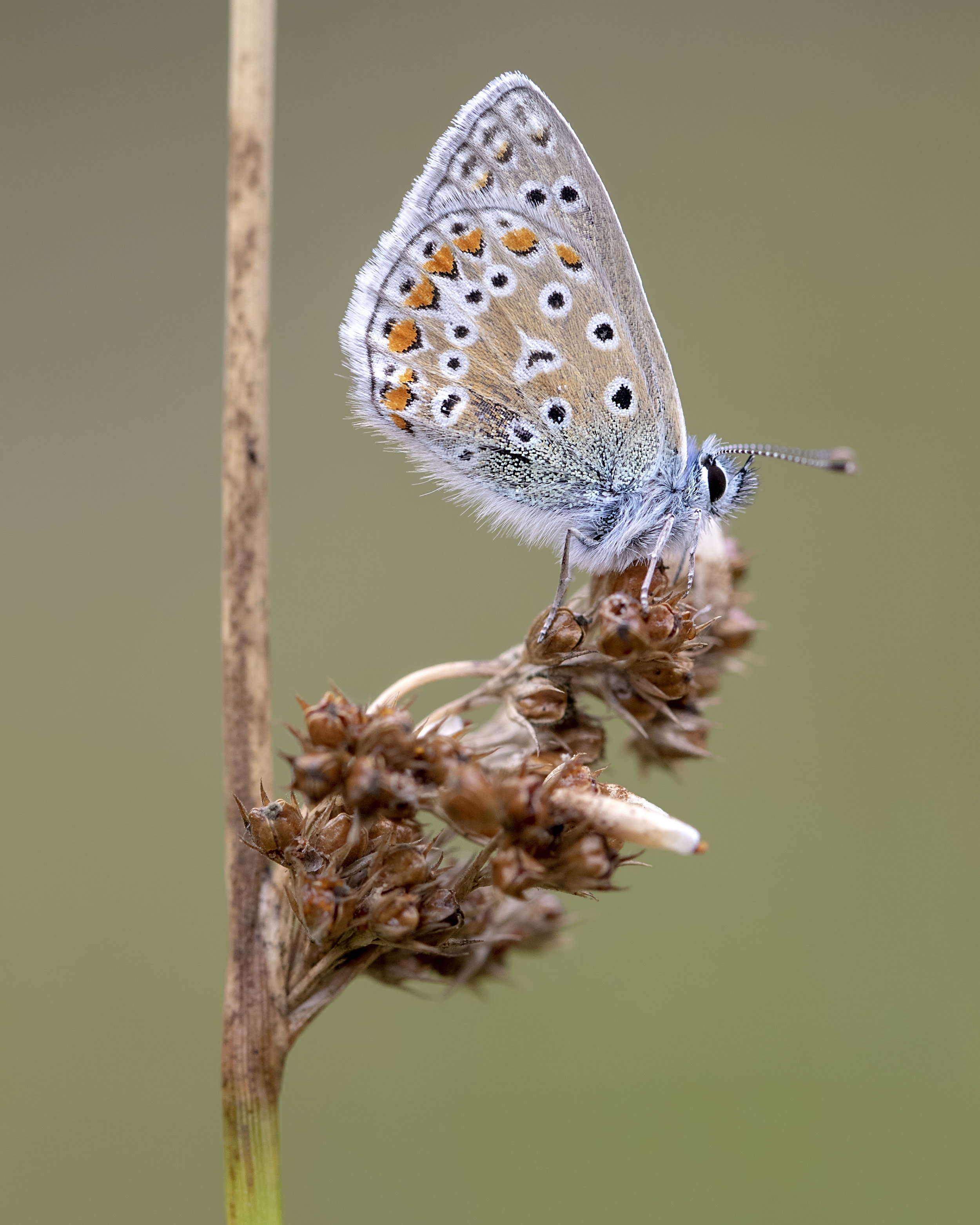 Common Blue Butterfly 7th August.jpg