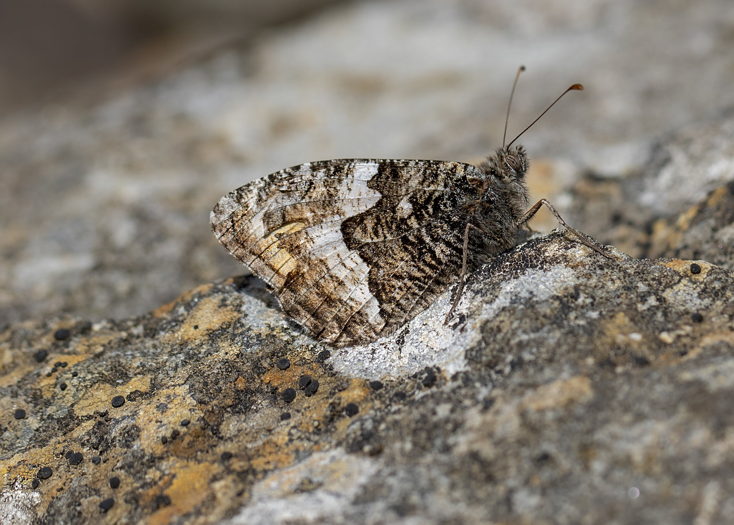 Grayling 7th August.jpg