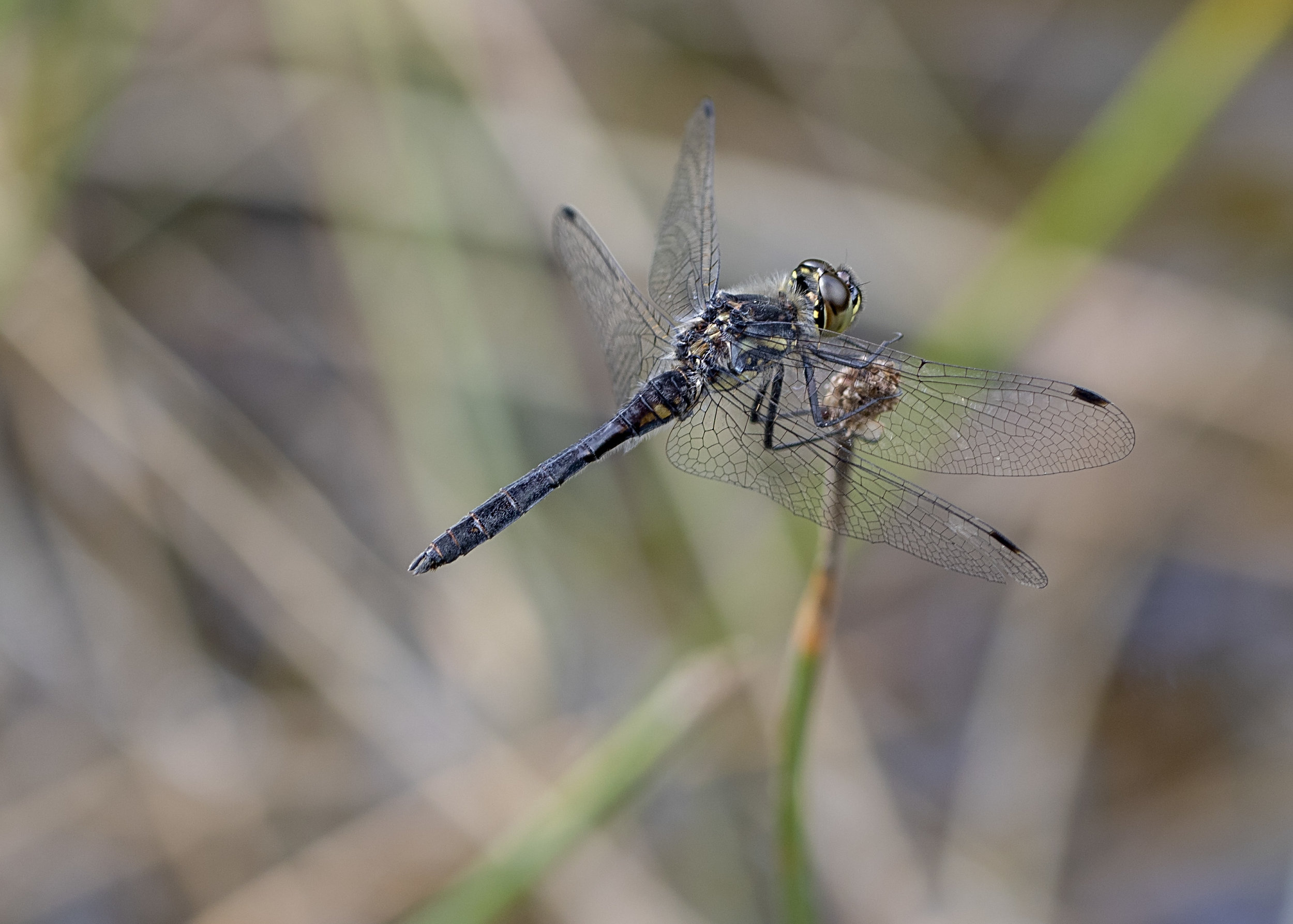 Black Darter Male 7th August.jpg