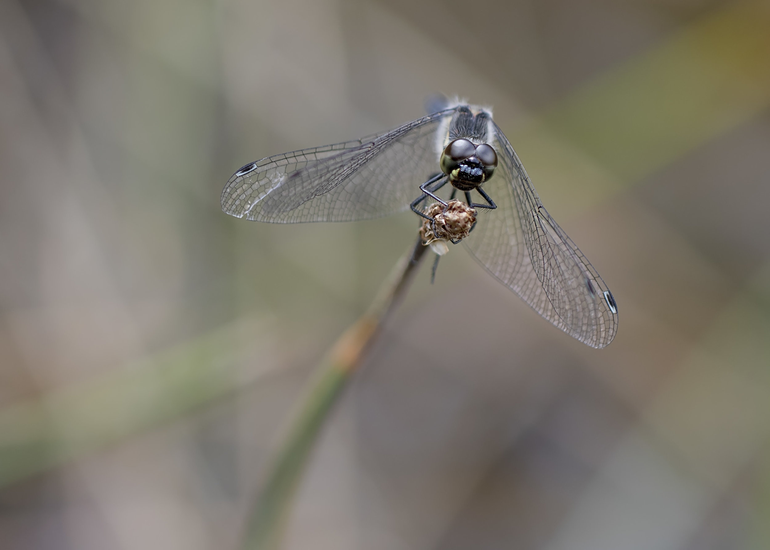 Black Darter Face 7th August.jpg