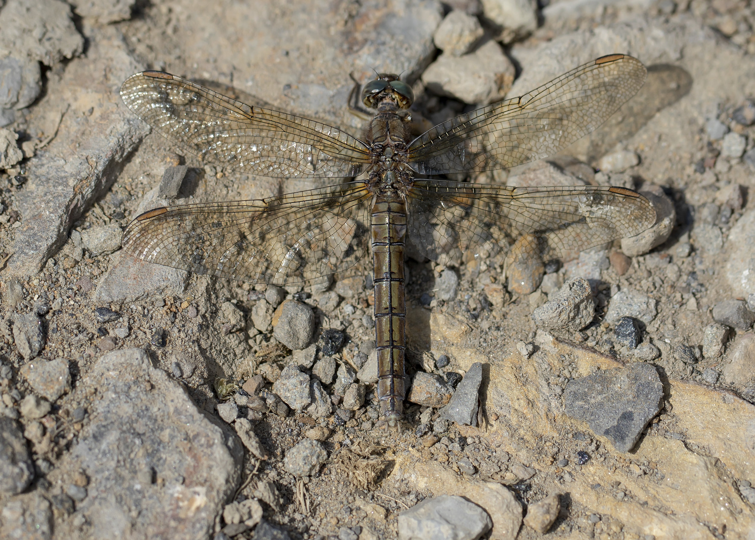Female Keeled Skimmer 7th August.jpg