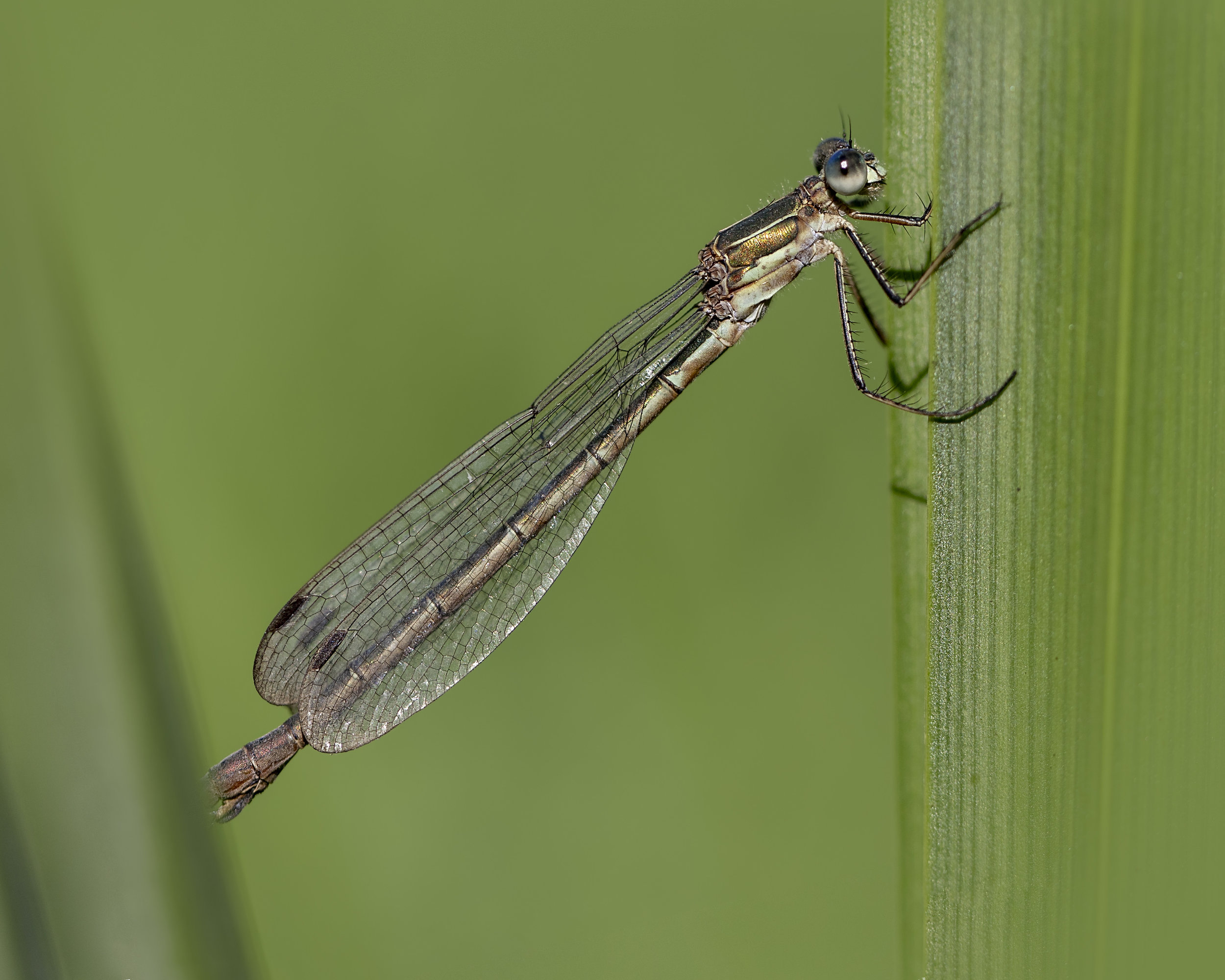 Emerald Damselfly 9th August.jpg