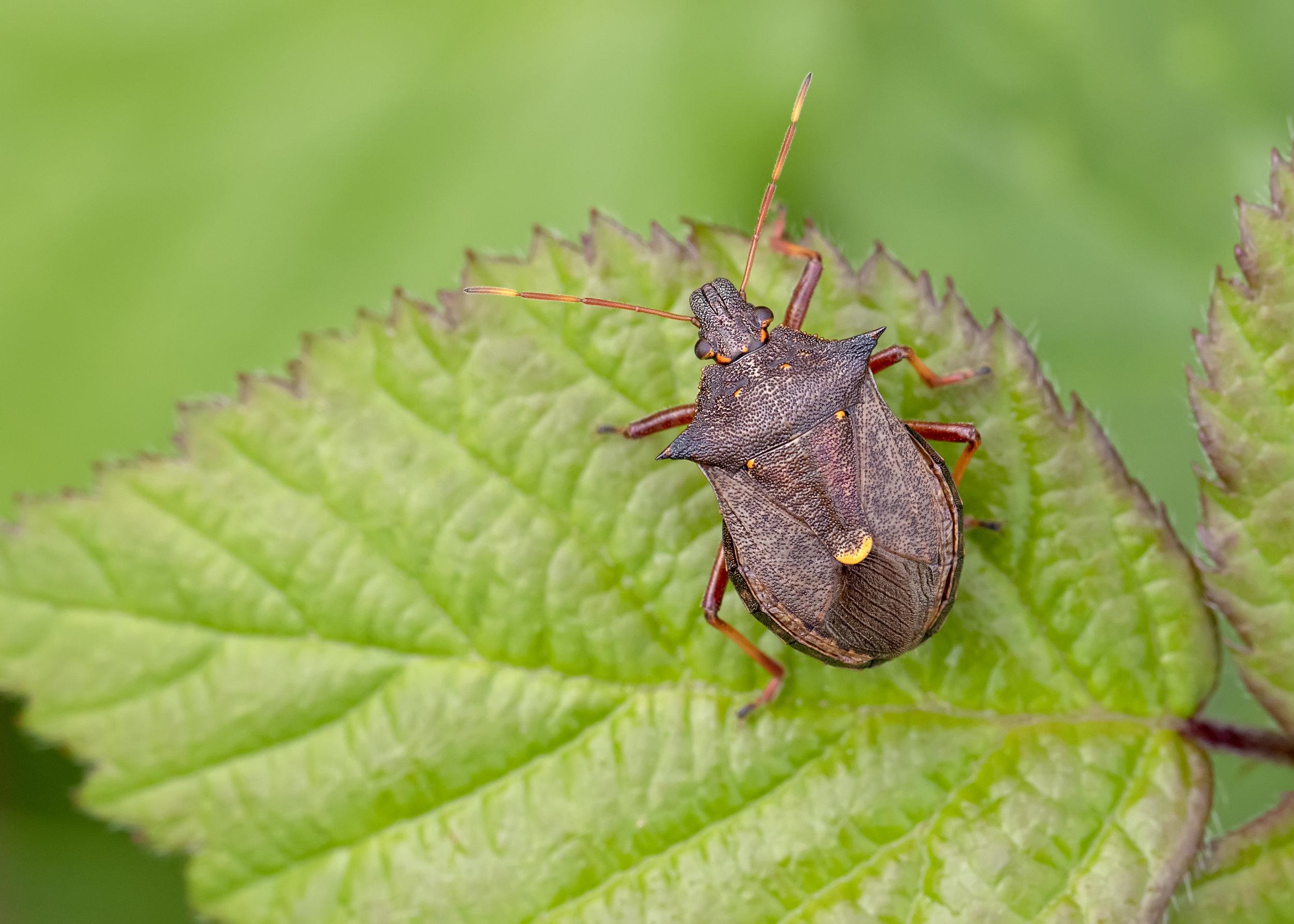 Spiked Shieldbug 15th September.jpg