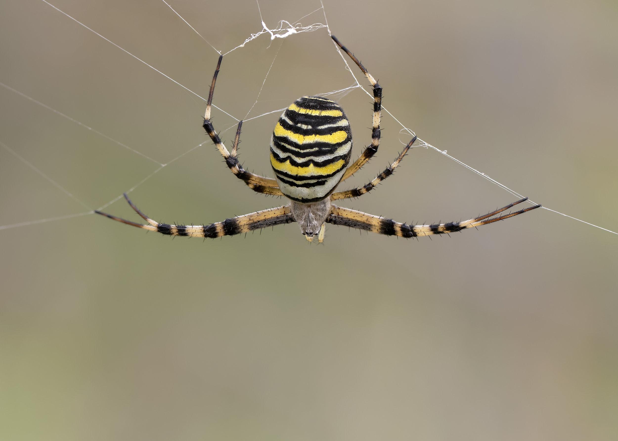 Wasp Spider Splits 1st September.jpg