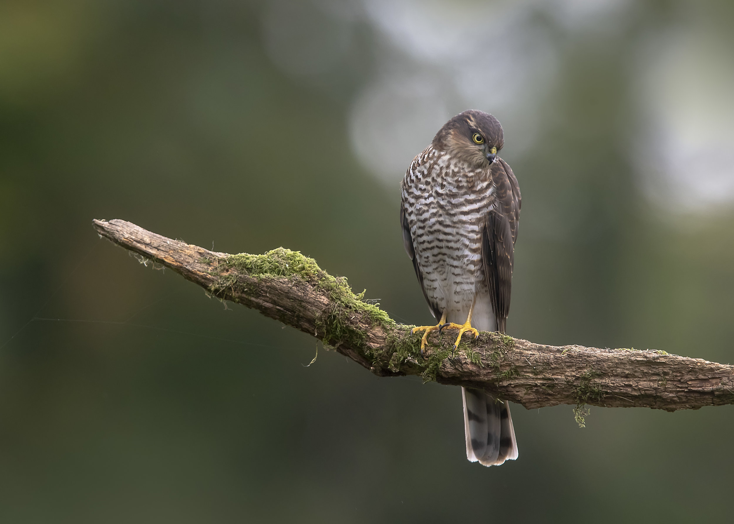 Sparrowhawk Hunting Post 4th September.jpg
