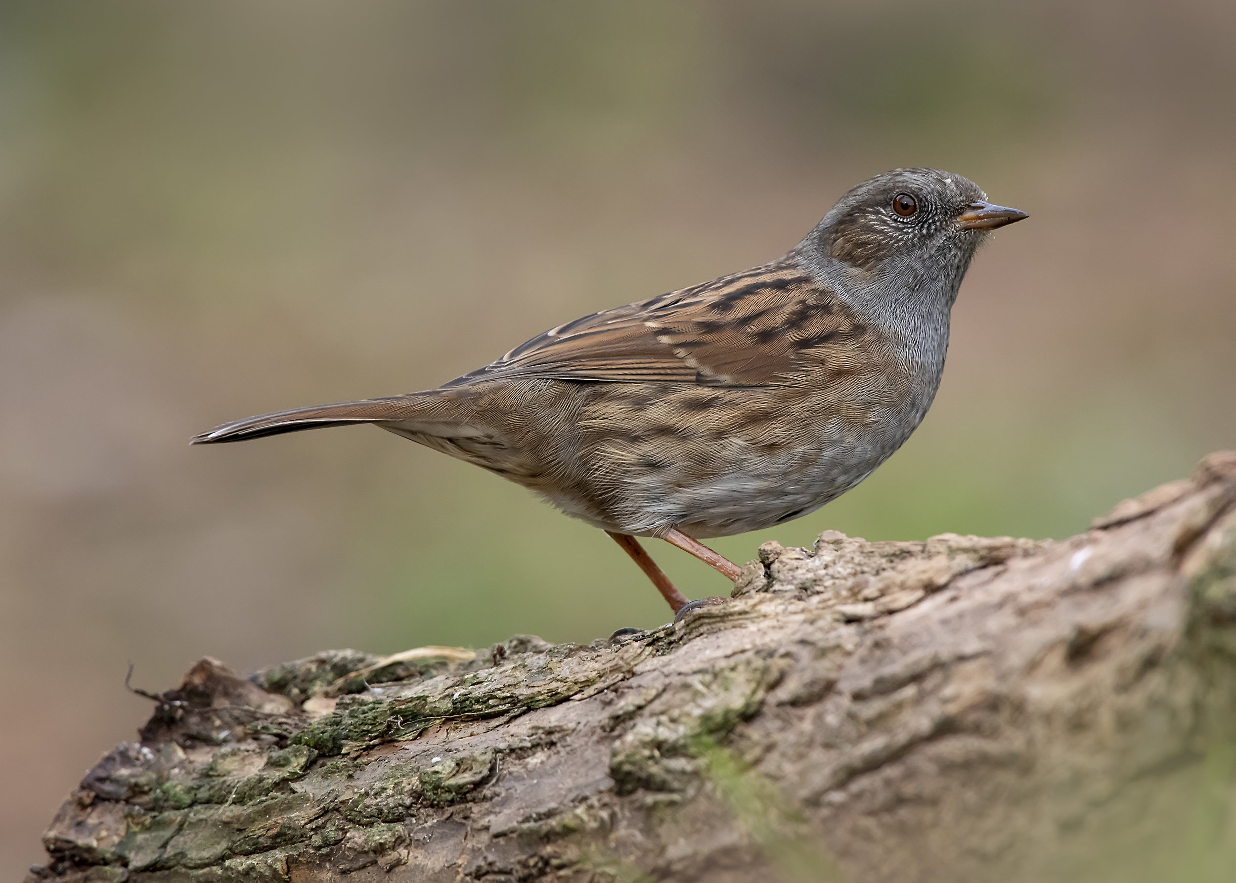 Dunnock 5th September.jpg