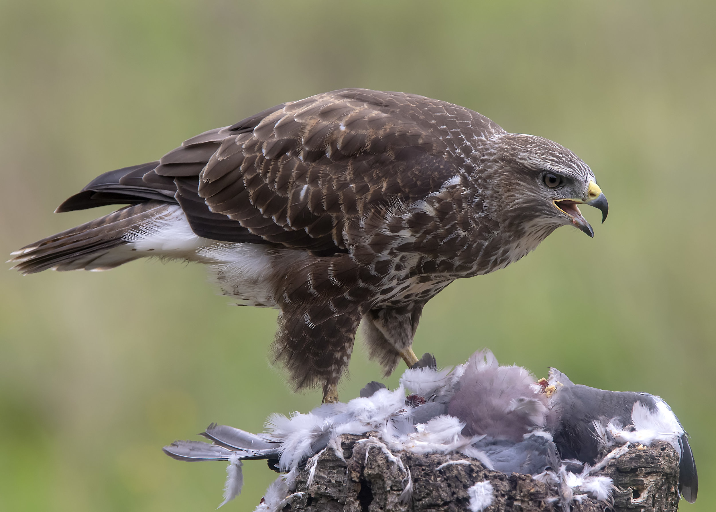 Buzzard Bill2 4th September.jpg