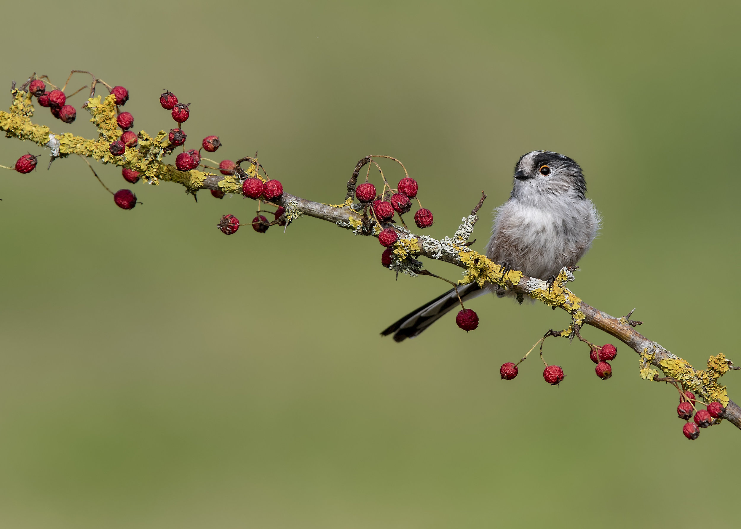 Long-tailed Tit 3rd September.jpg