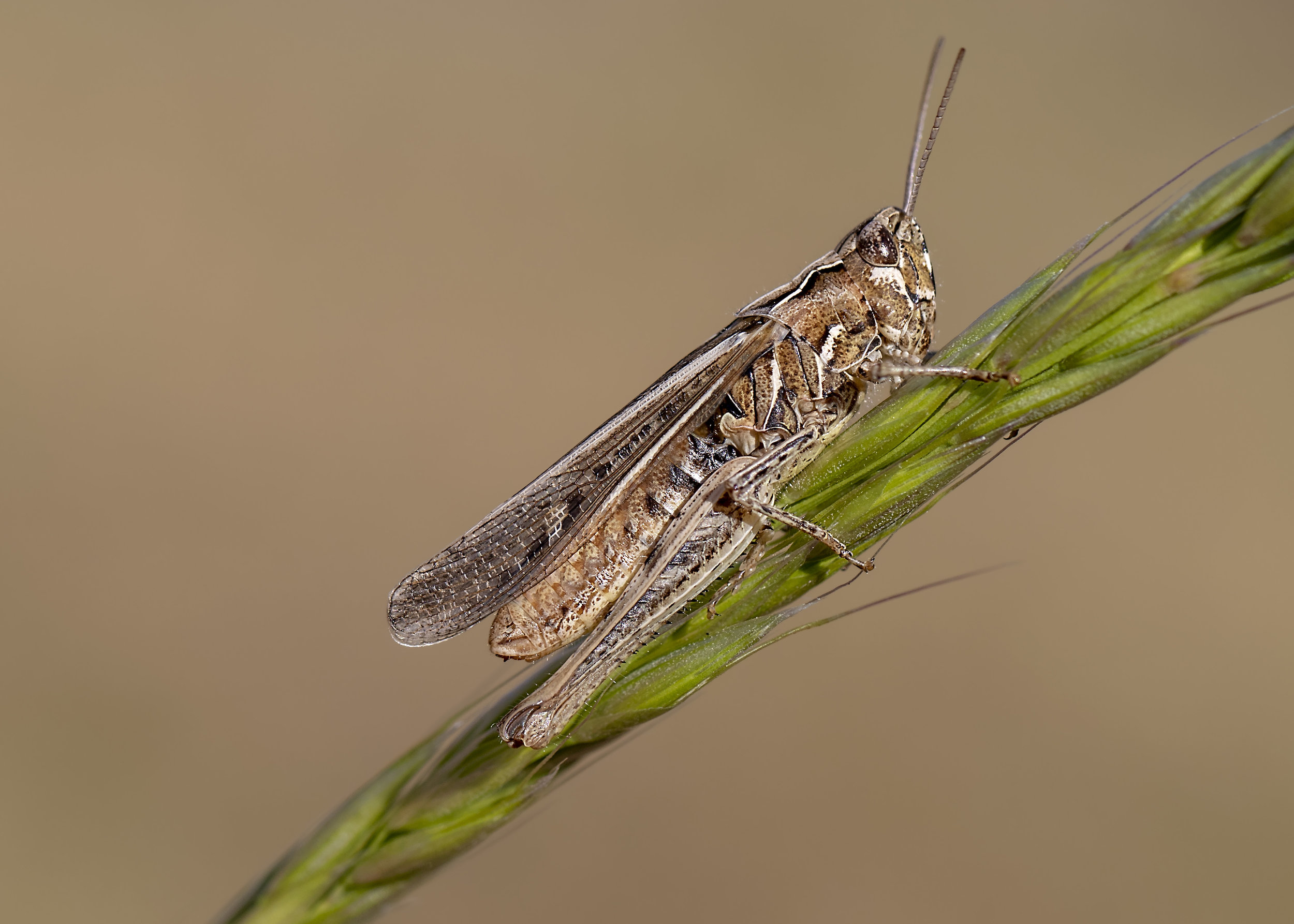 Mottled Grasshopper 1st October.jpg