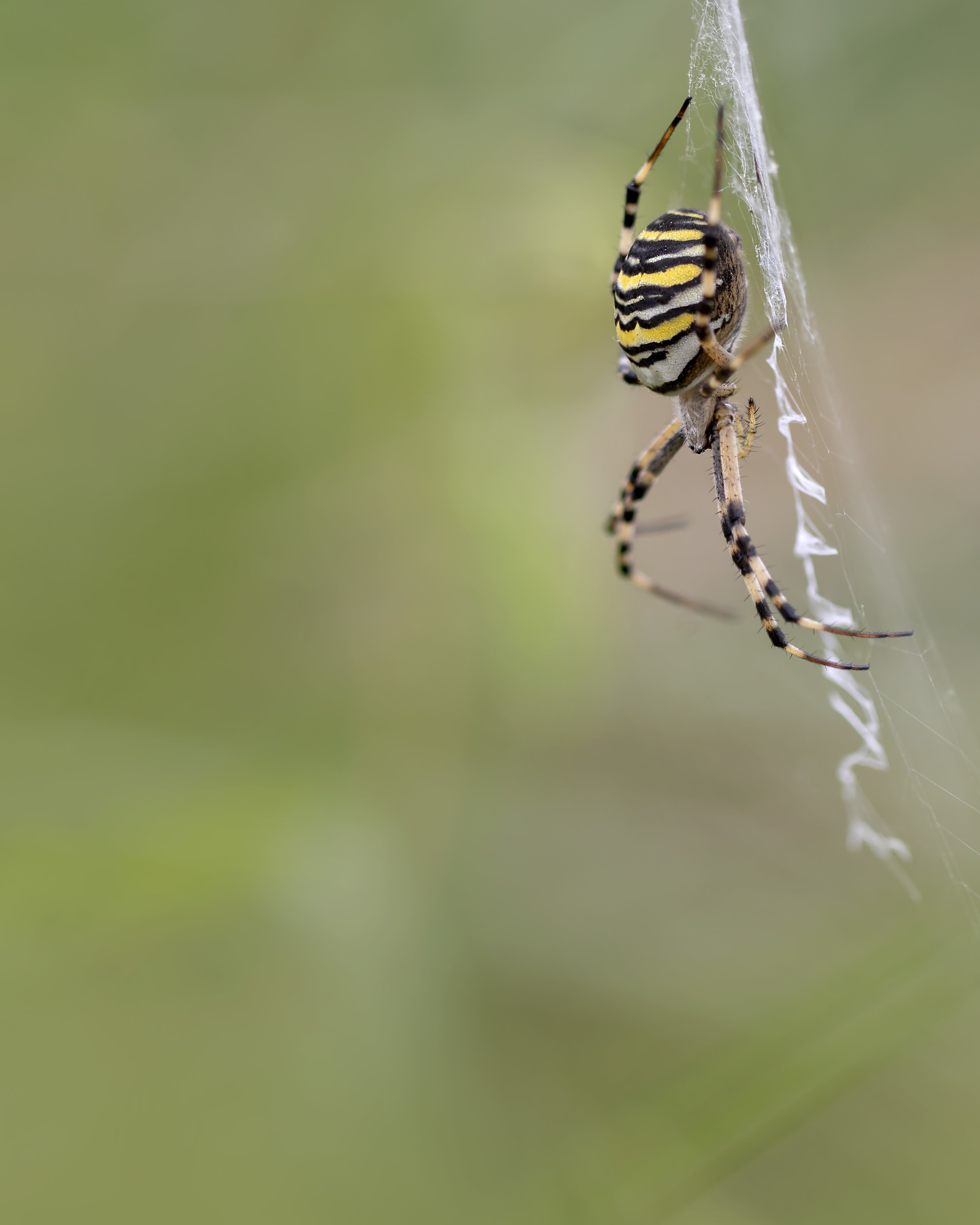 Wasp Spider 15th September.jpg