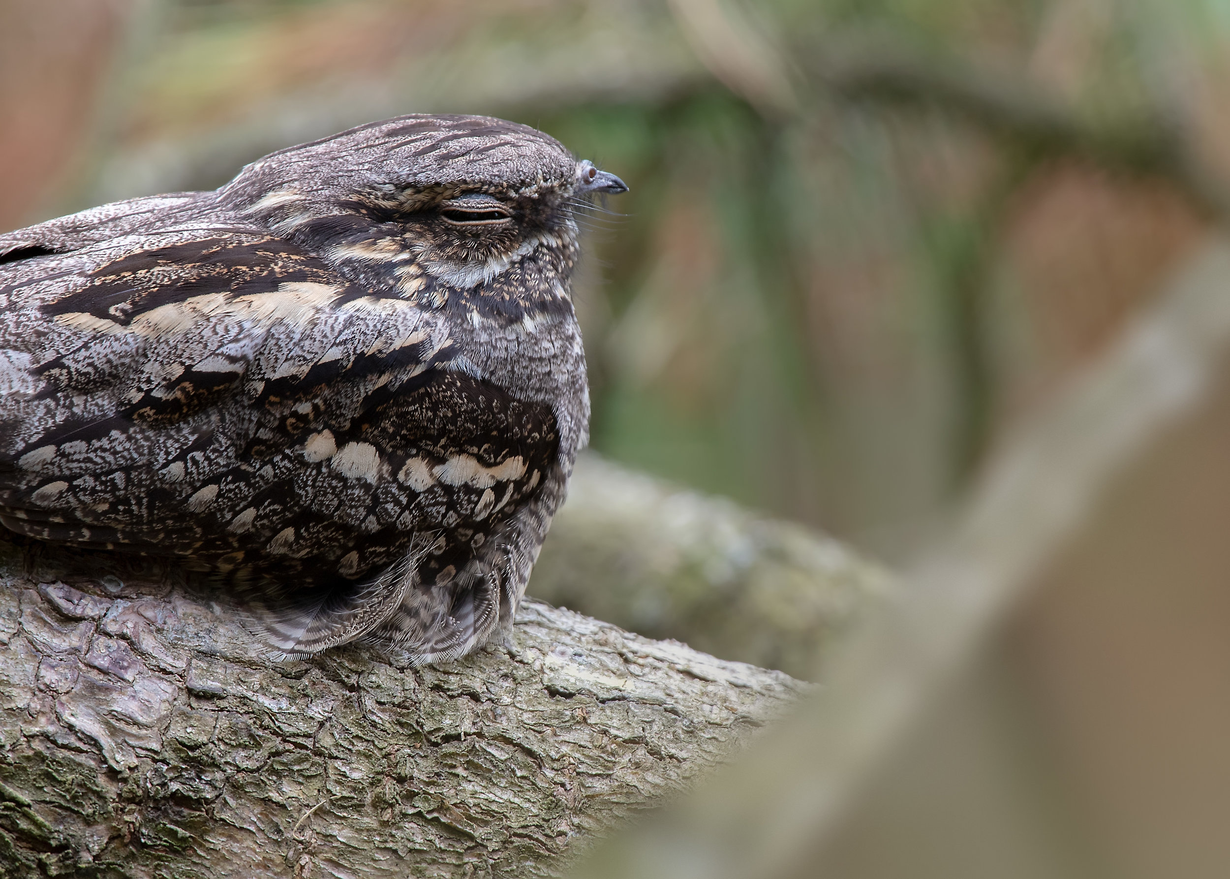 Nightjar 17th September.jpg