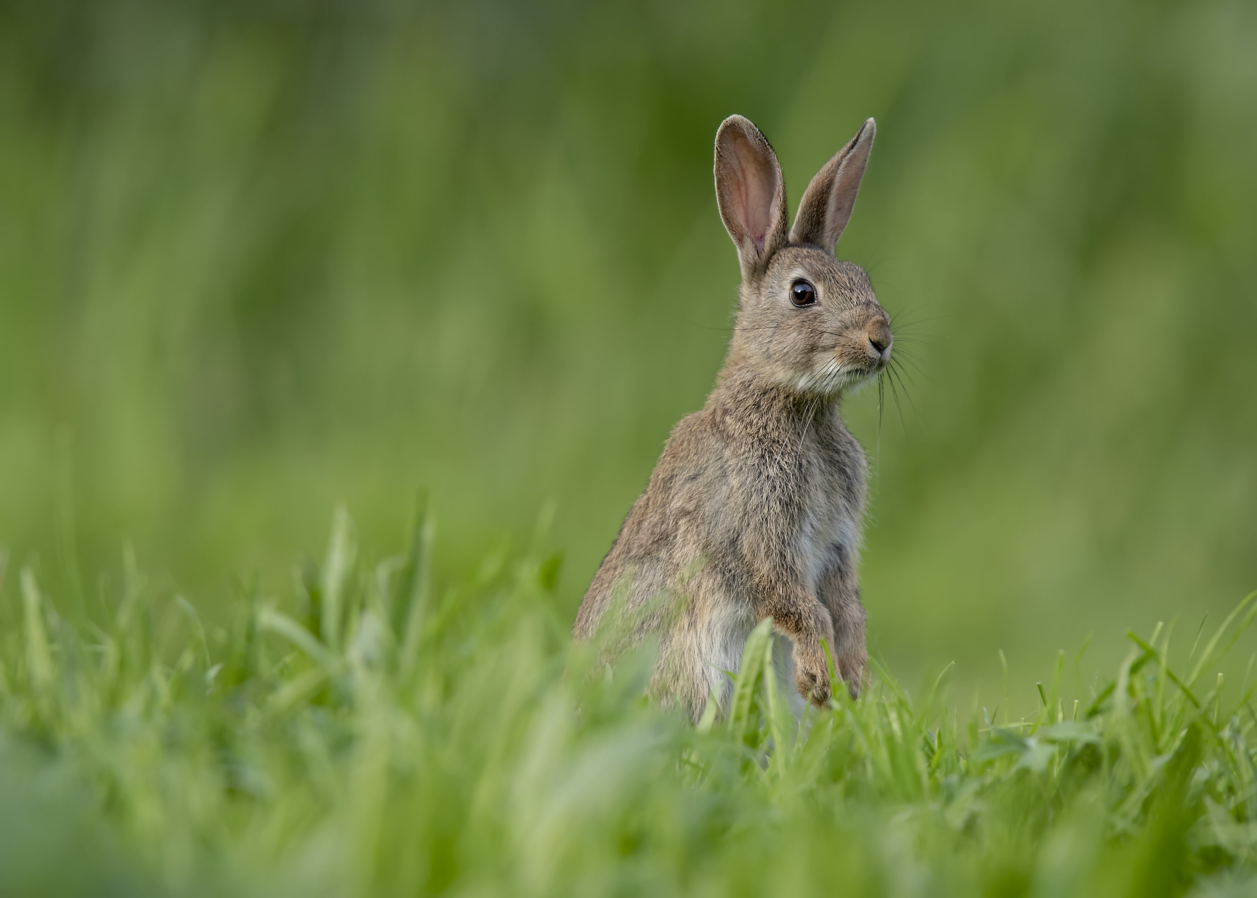 Bunny Rabbit 30th August.jpg