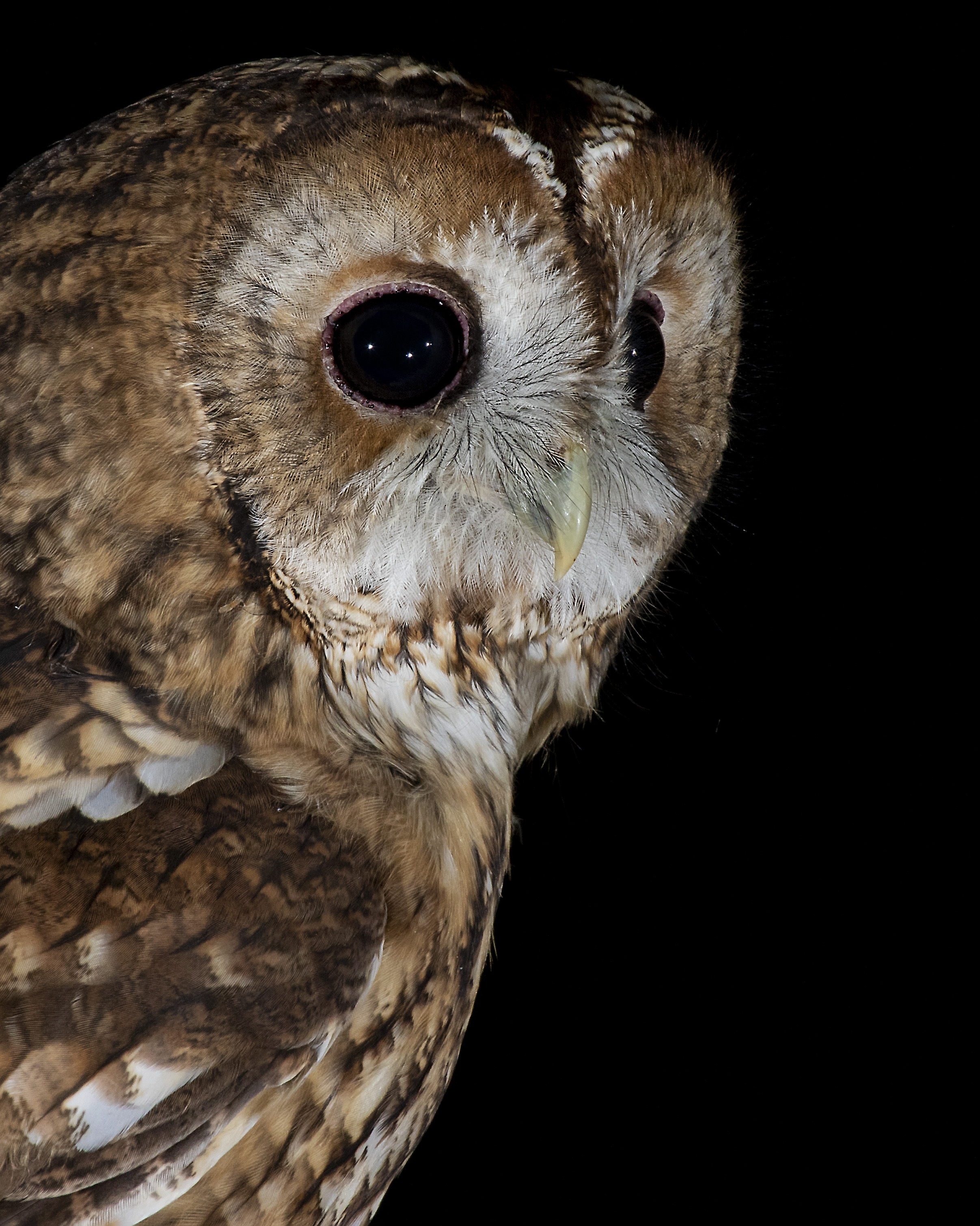 Tawny Owl Crop 3rd September.jpg