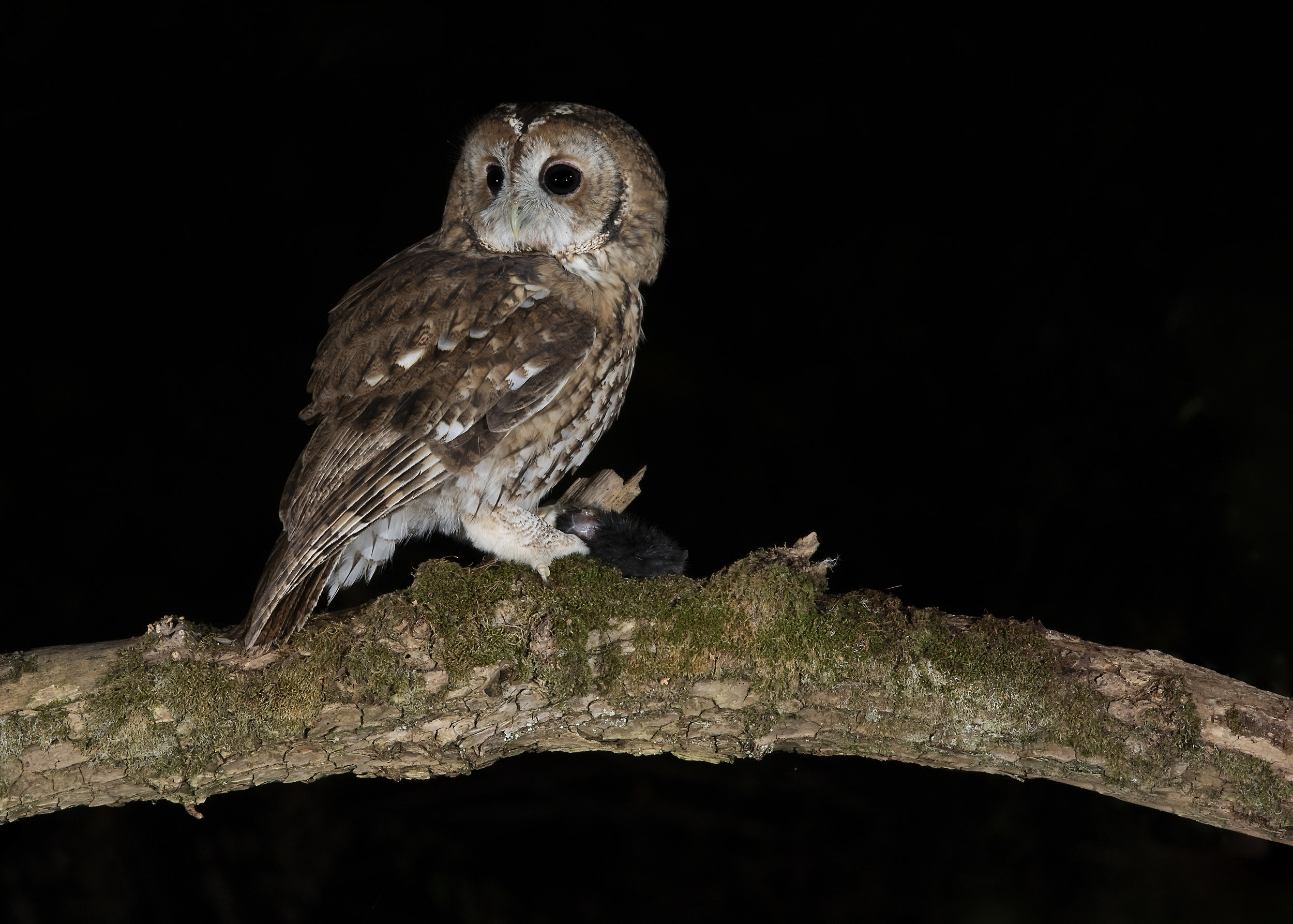 Tawny Owl Mouse 3rd September.jpg