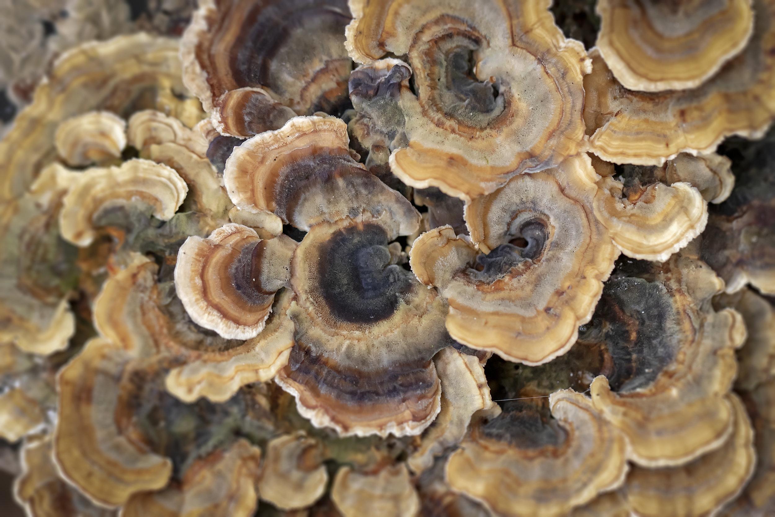 Turkeytail Fungi 6th November.jpg