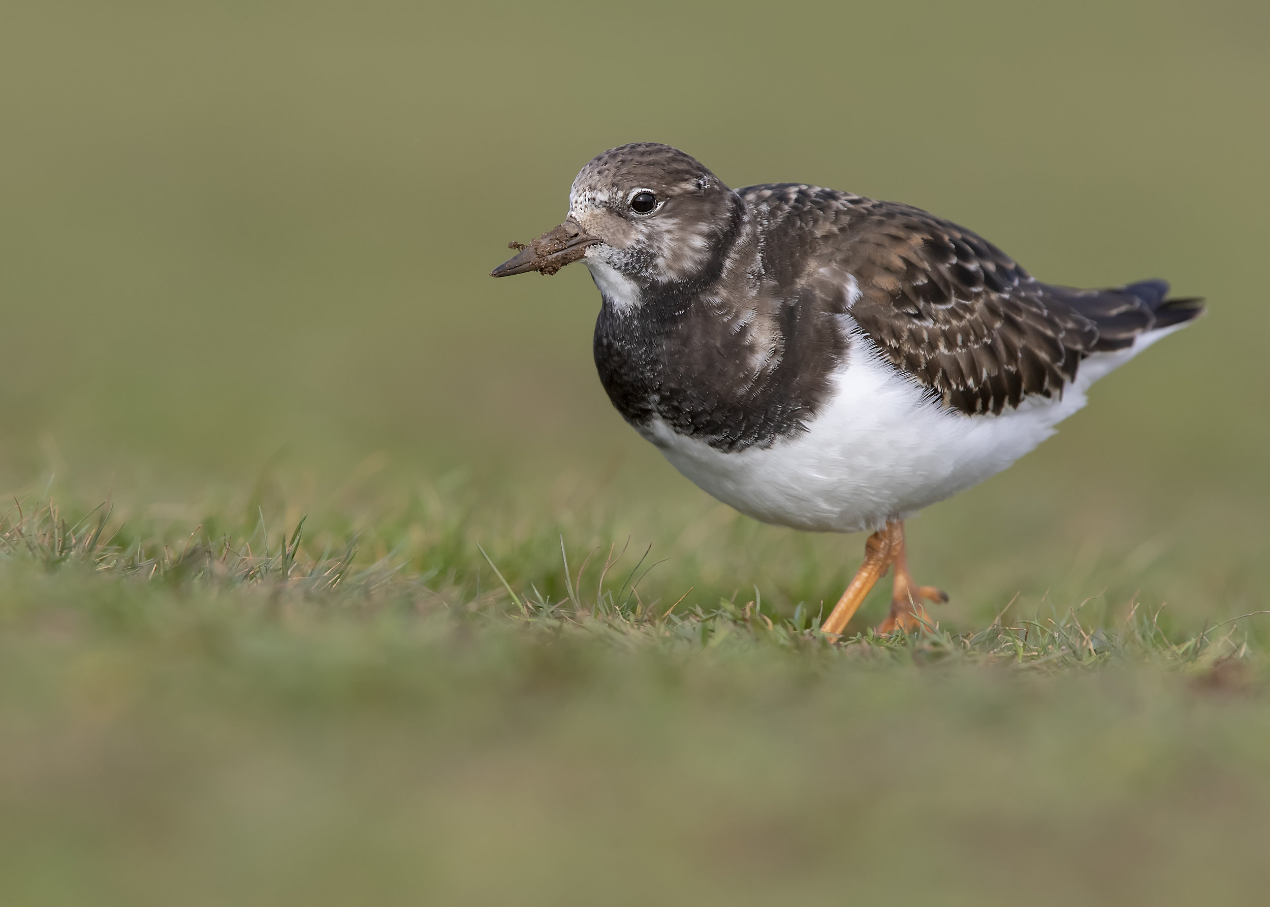 Turnstone Grass 13th November.jpg