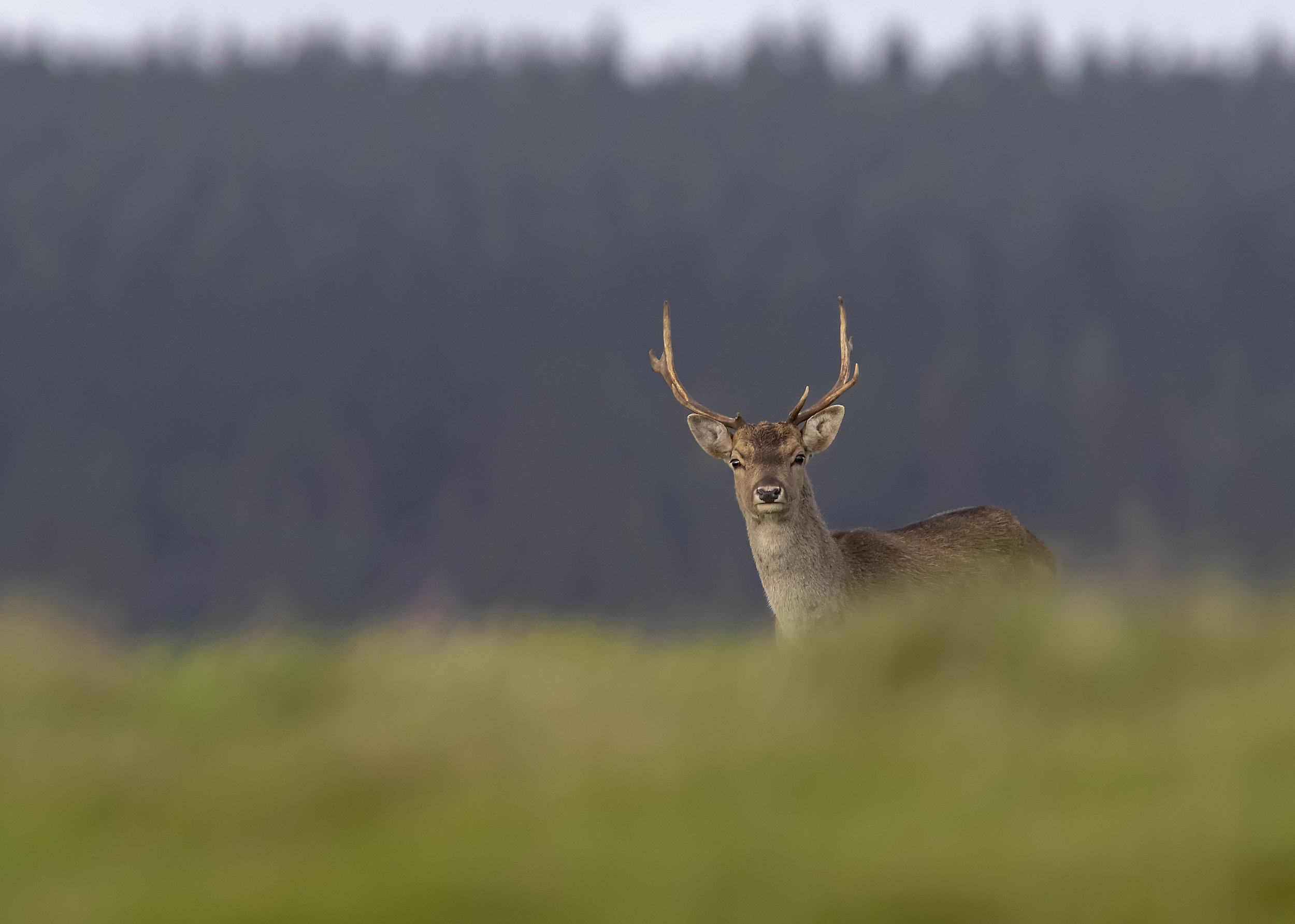 Fallow Buck 13th November.jpg
