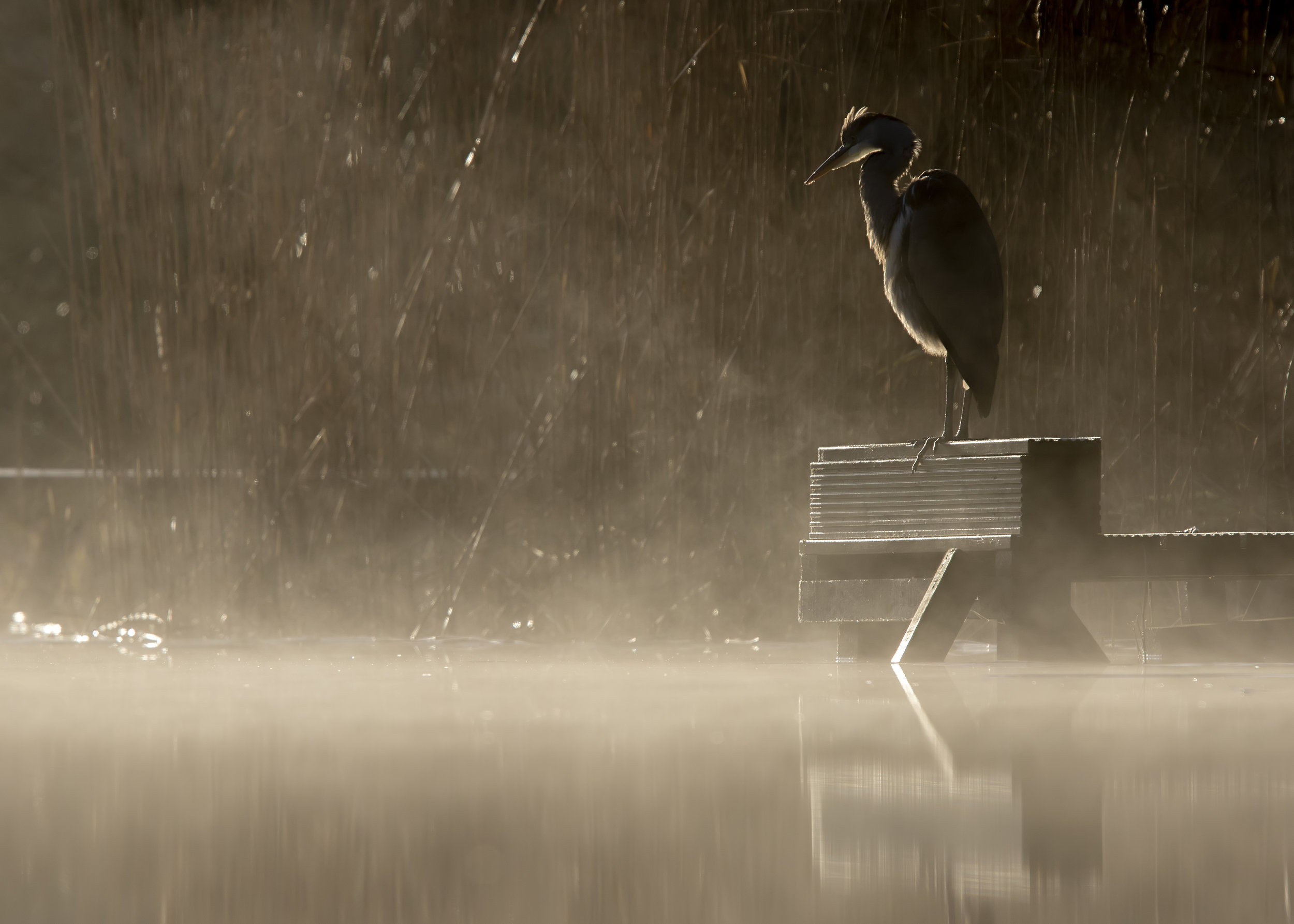 Misty Heron Lake 4th December.jpg