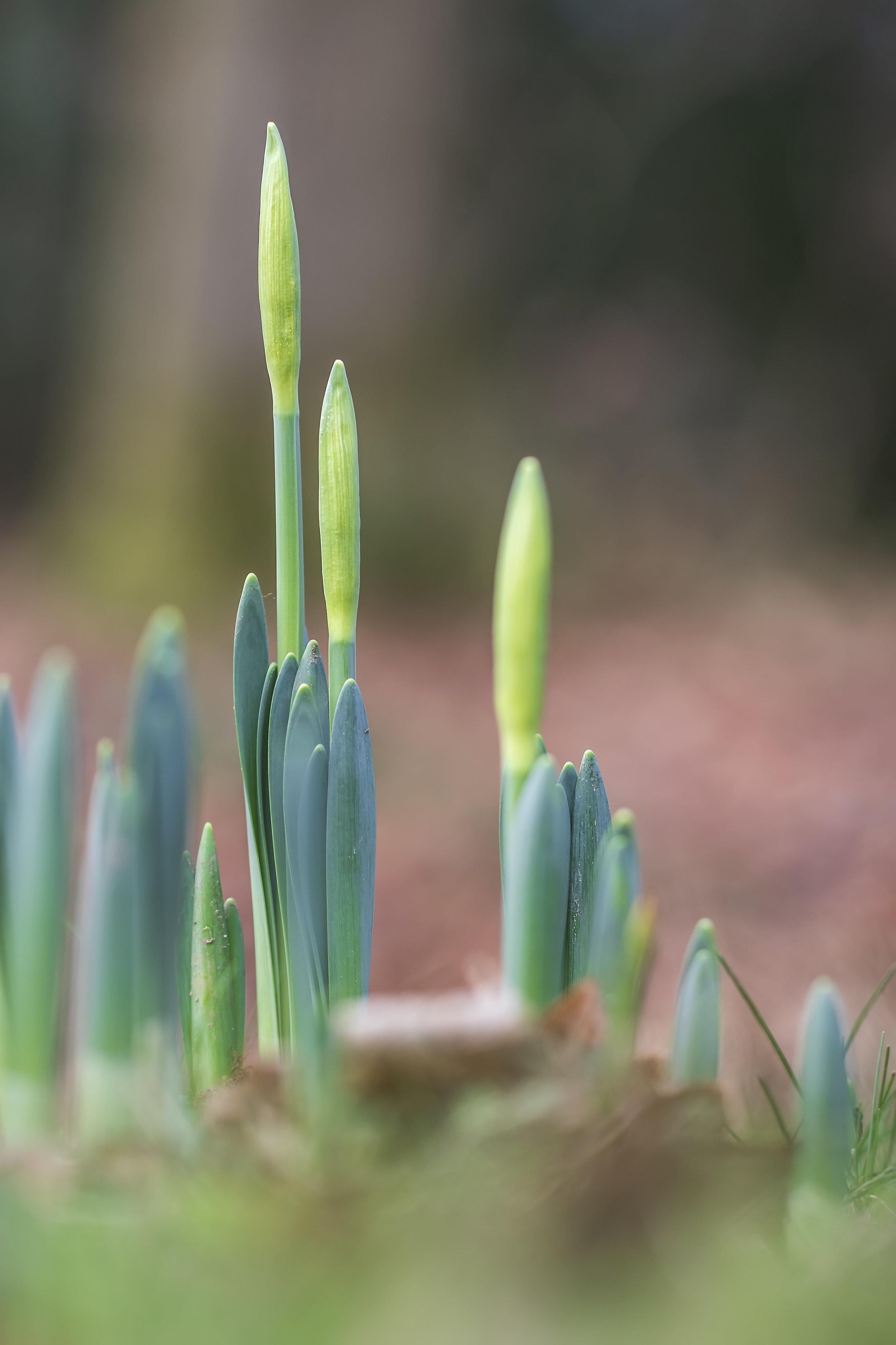 Daffodiles 8th January.jpg
