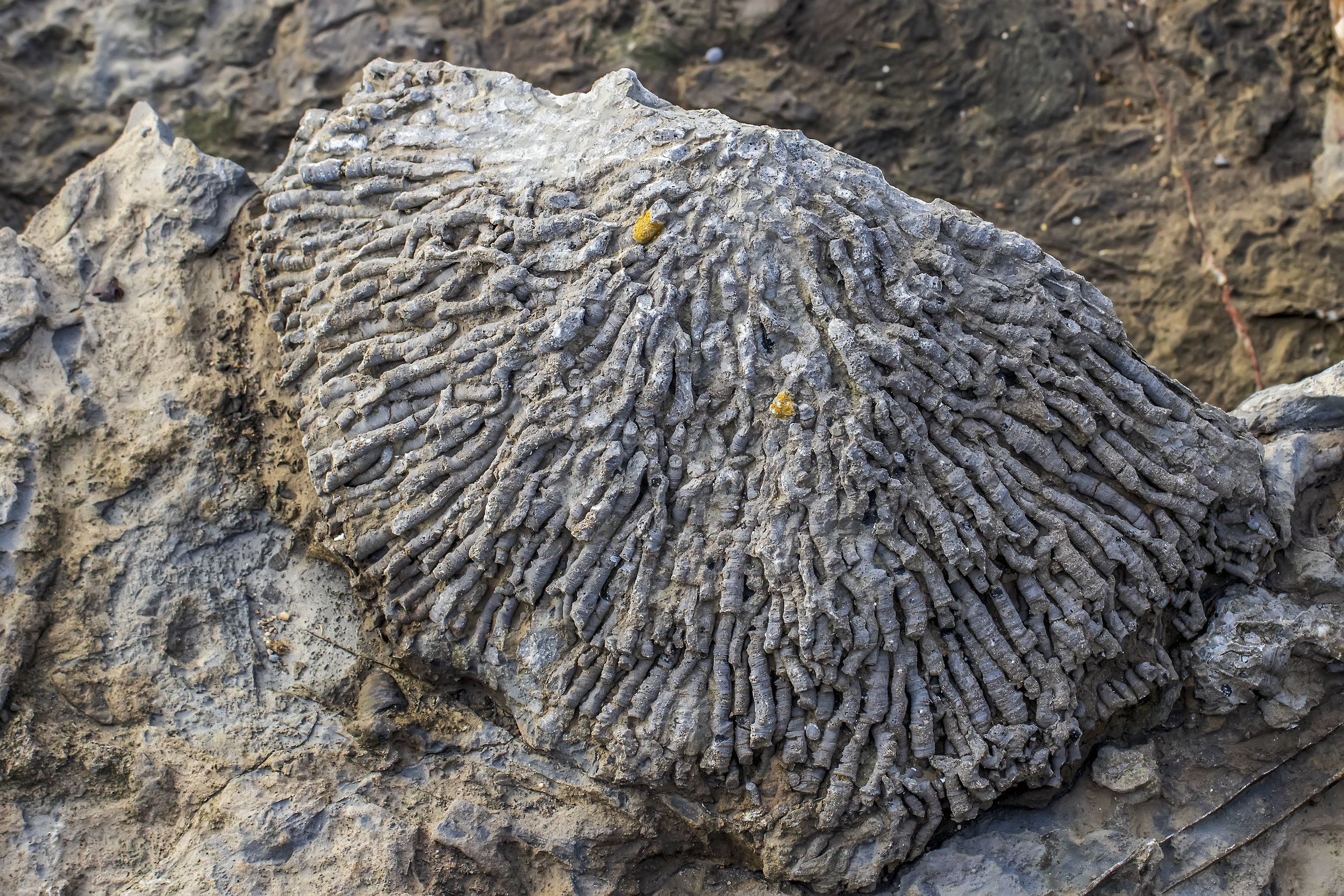 Rugose Coral Fossil